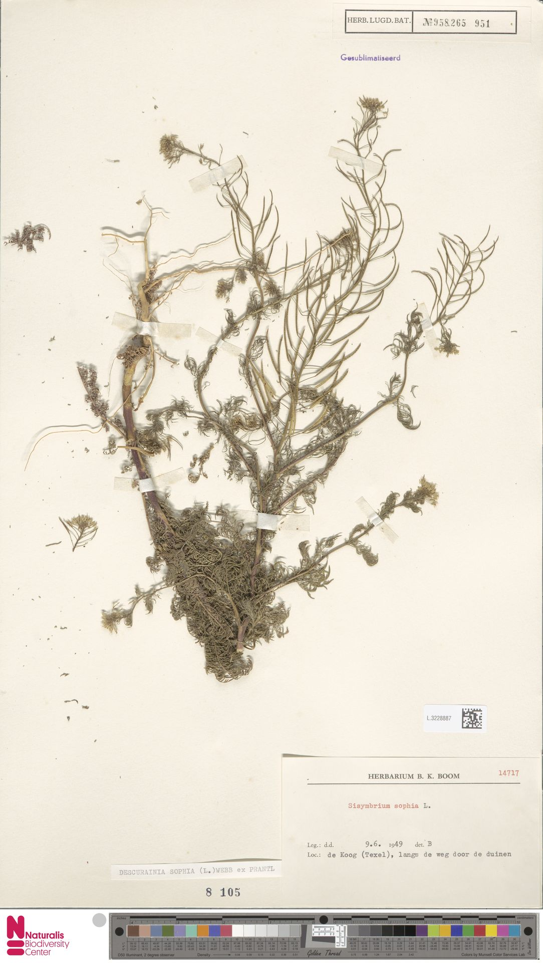 L.3228887 | Descurainia sophia (L.) Webb ex Prantl