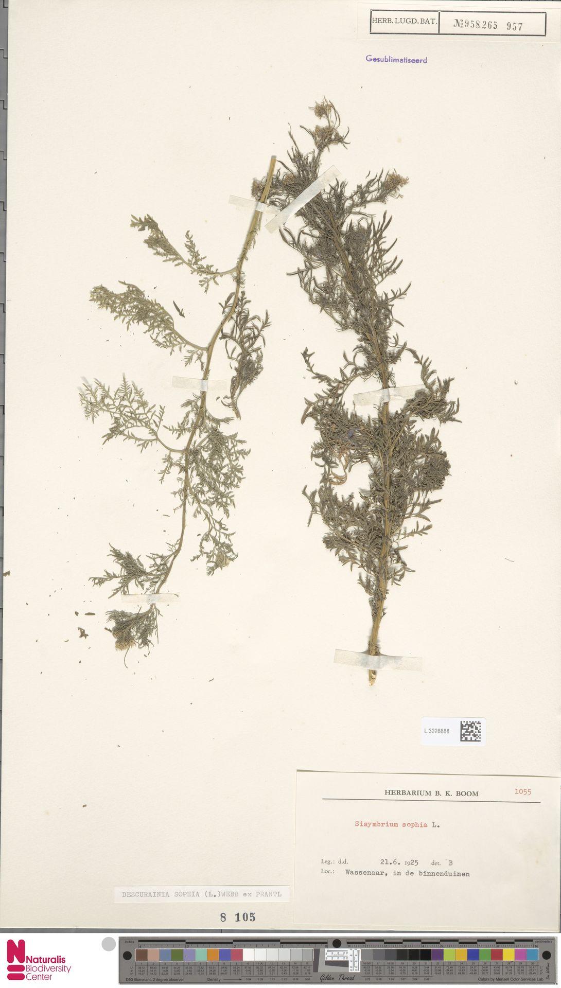 L.3228888 | Descurainia sophia (L.) Webb ex Prantl