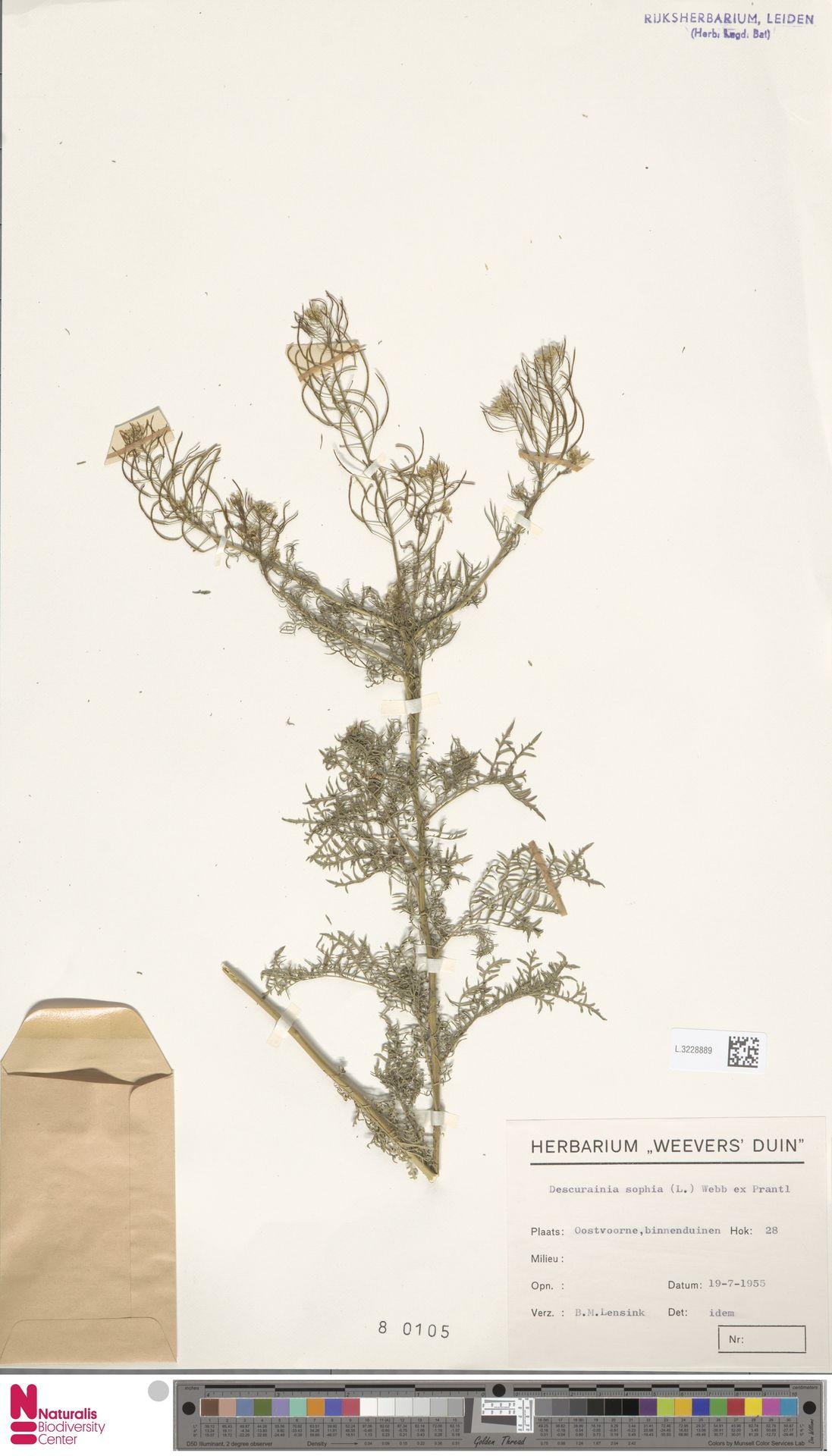 L.3228889 | Descurainia sophia (L.) Webb ex Prantl