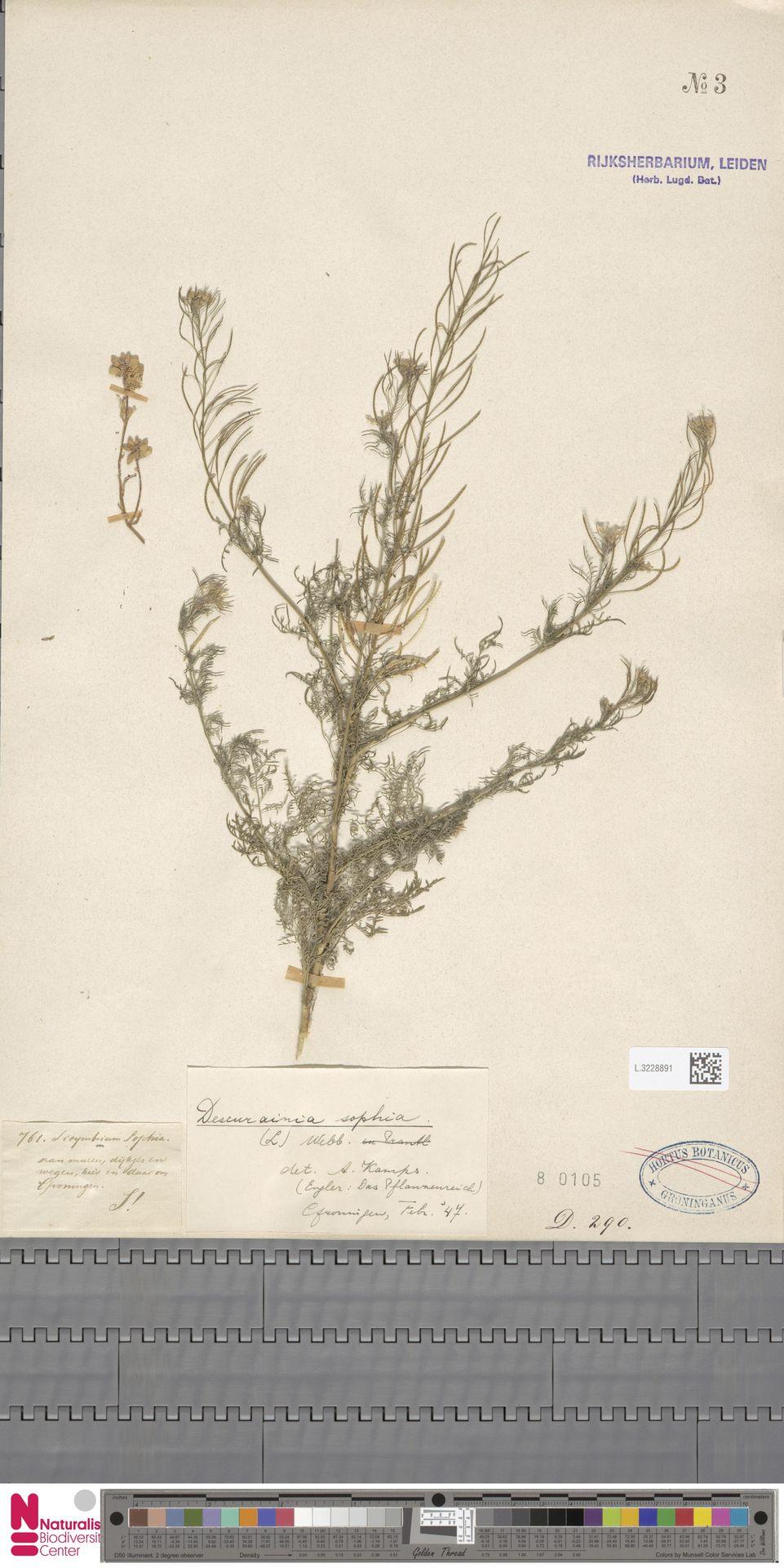 L.3228891 | Descurainia sophia (L.) Webb ex Prantl