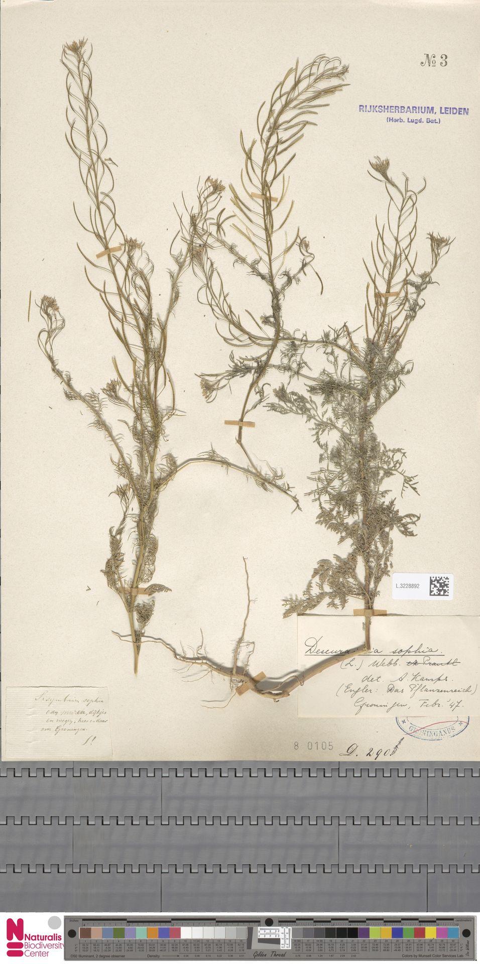 L.3228892   Descurainia sophia (L.) Webb ex Prantl