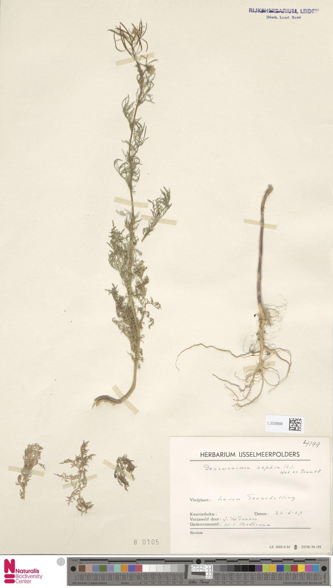 L.3228898 | Descurainia sophia (L.) Webb ex Prantl