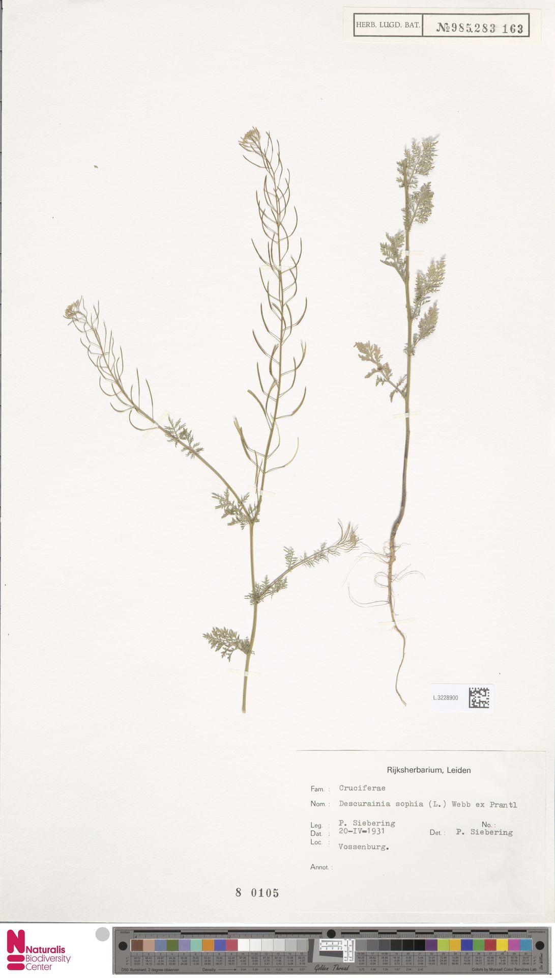 L.3228900 | Descurainia sophia (L.) Webb ex Prantl