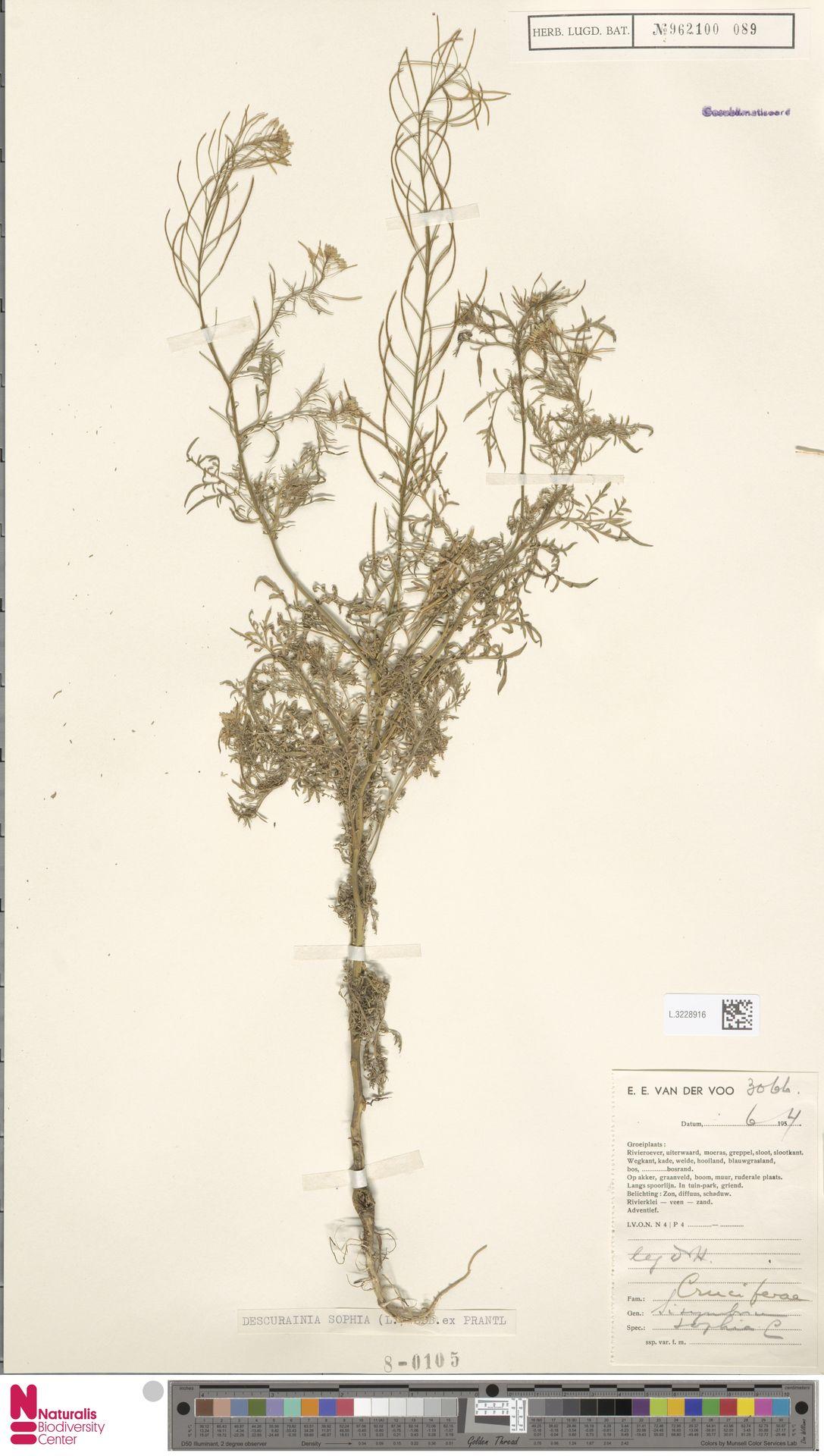 L.3228916 | Descurainia sophia (L.) Webb ex Prantl
