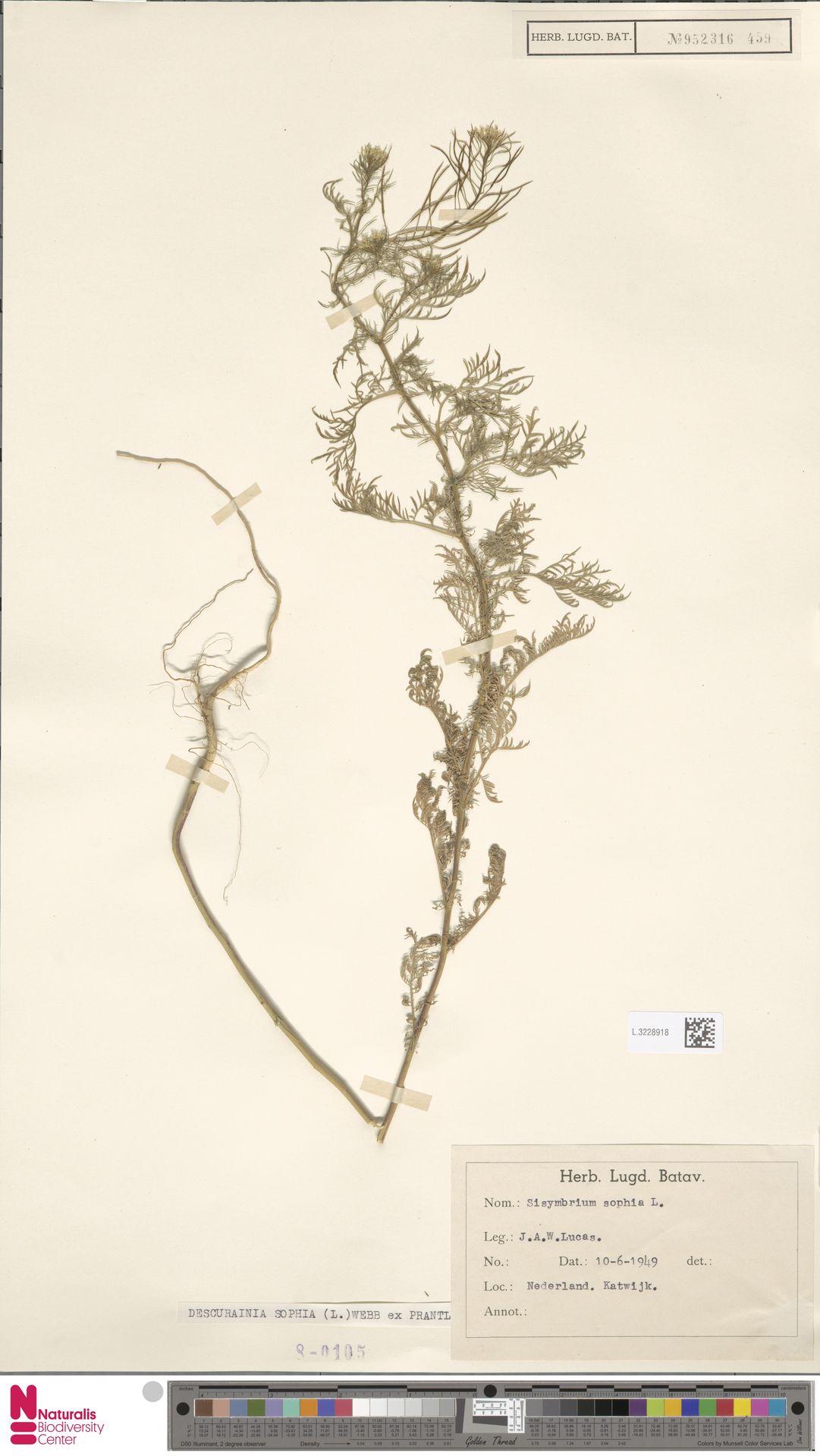 L.3228918 | Descurainia sophia (L.) Webb ex Prantl