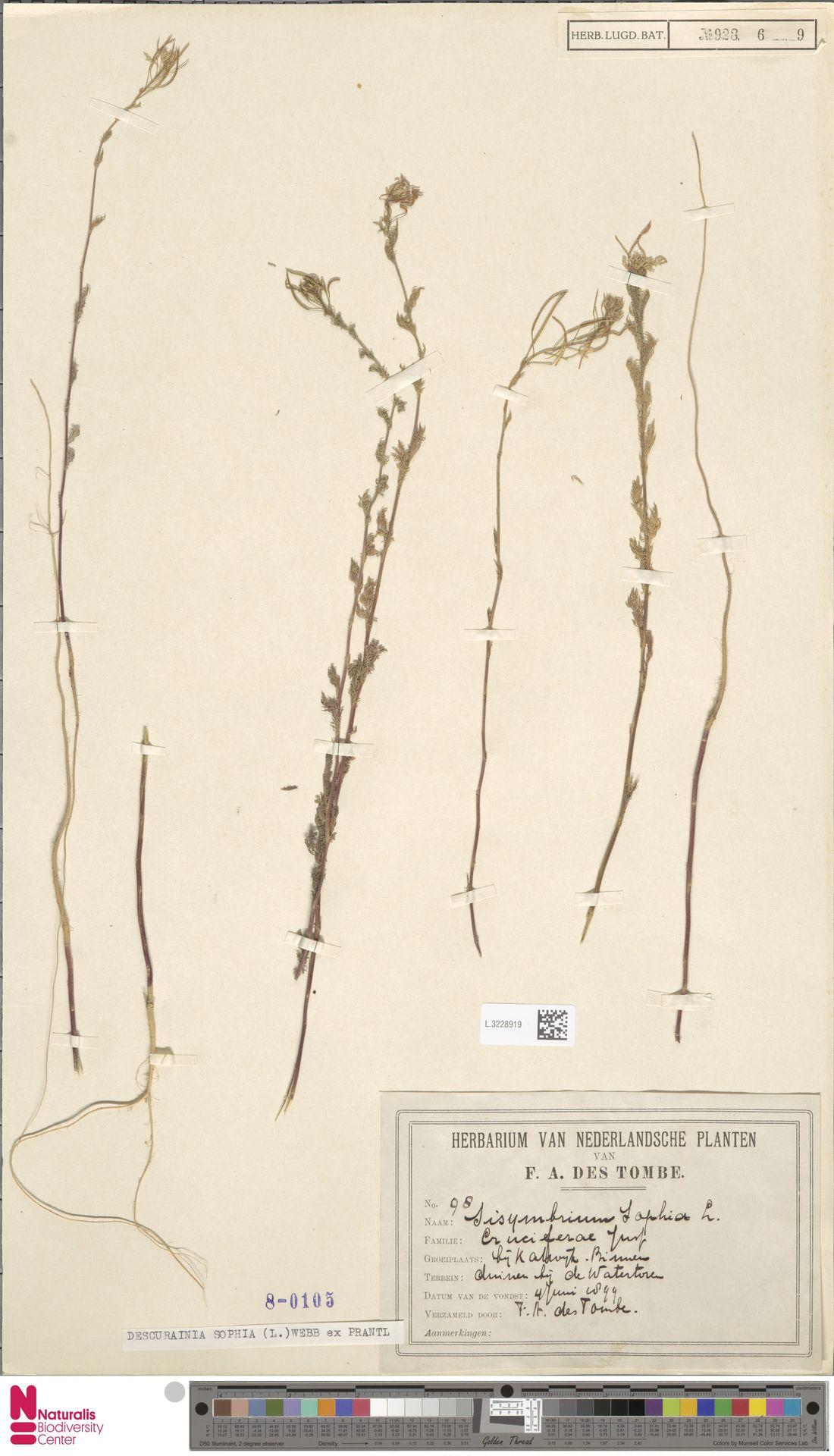 L.3228919 | Descurainia sophia (L.) Webb ex Prantl