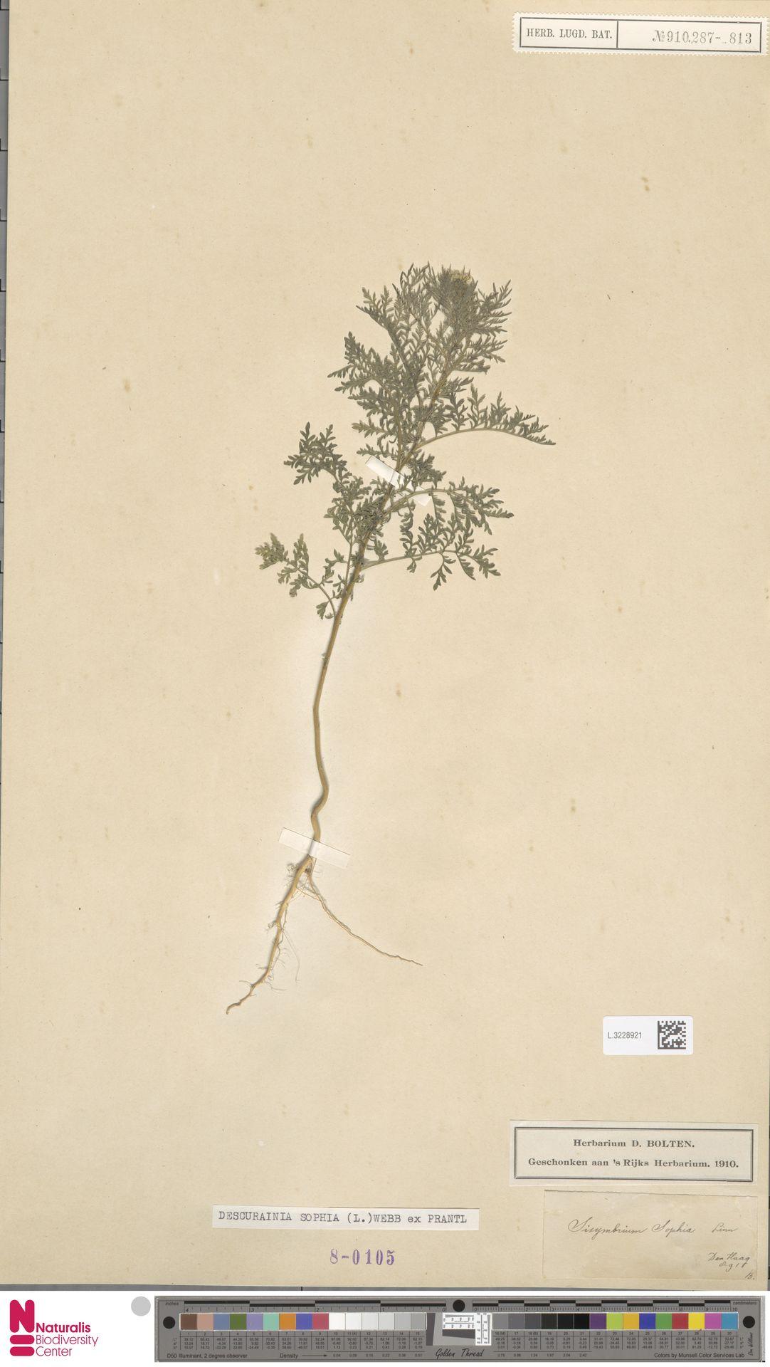 L.3228921 | Descurainia sophia (L.) Webb ex Prantl