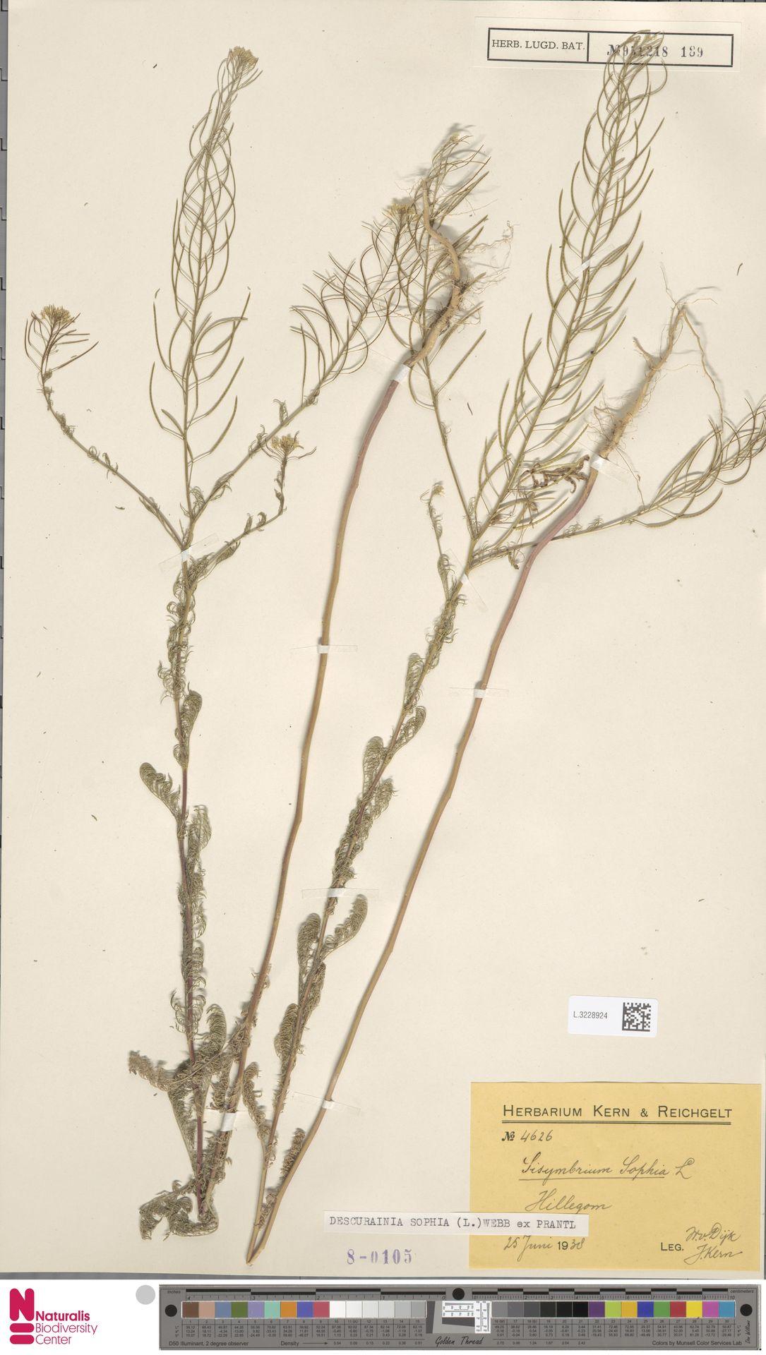 L.3228924 | Descurainia sophia (L.) Webb ex Prantl