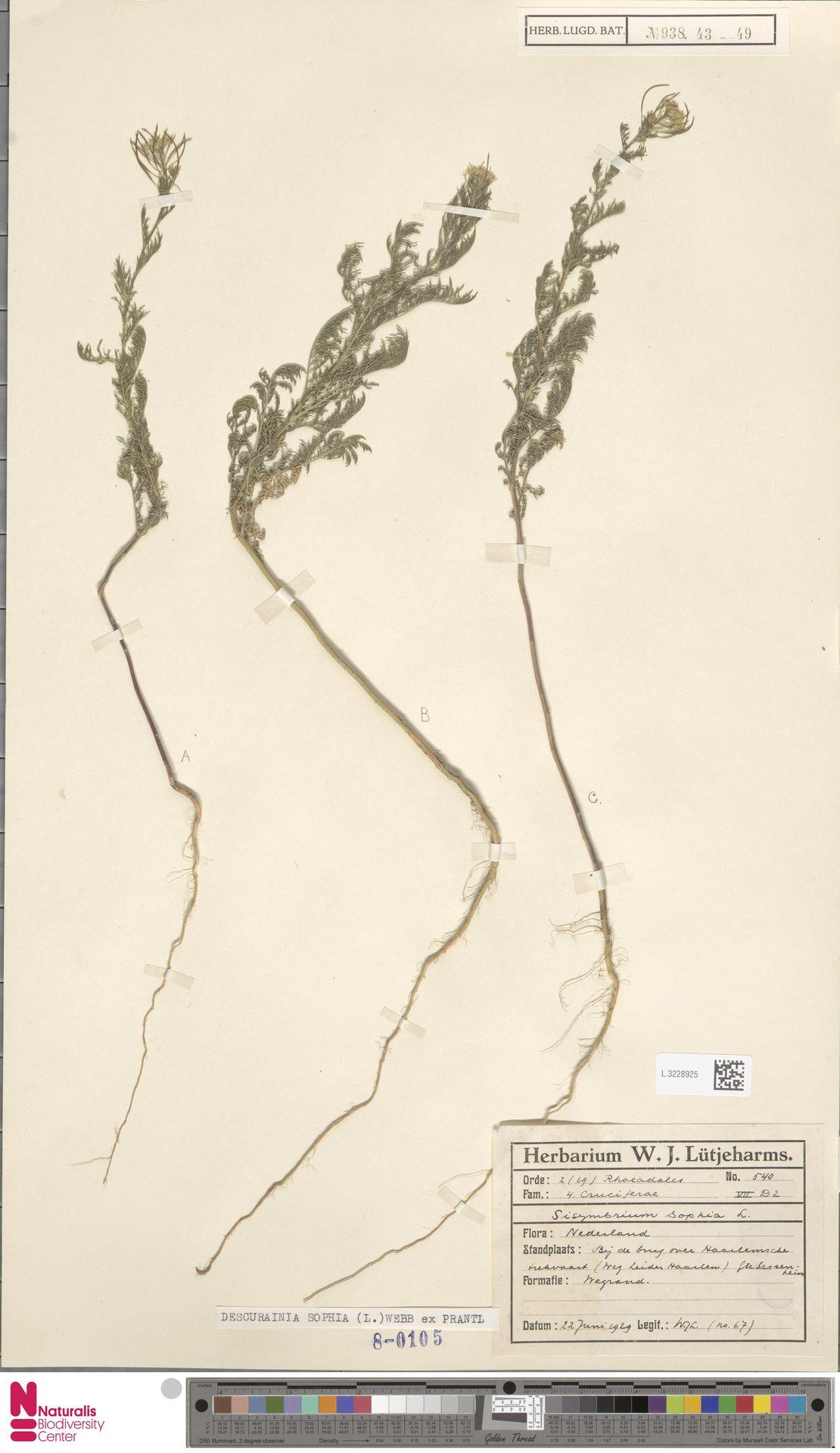 L.3228925 | Descurainia sophia (L.) Webb ex Prantl