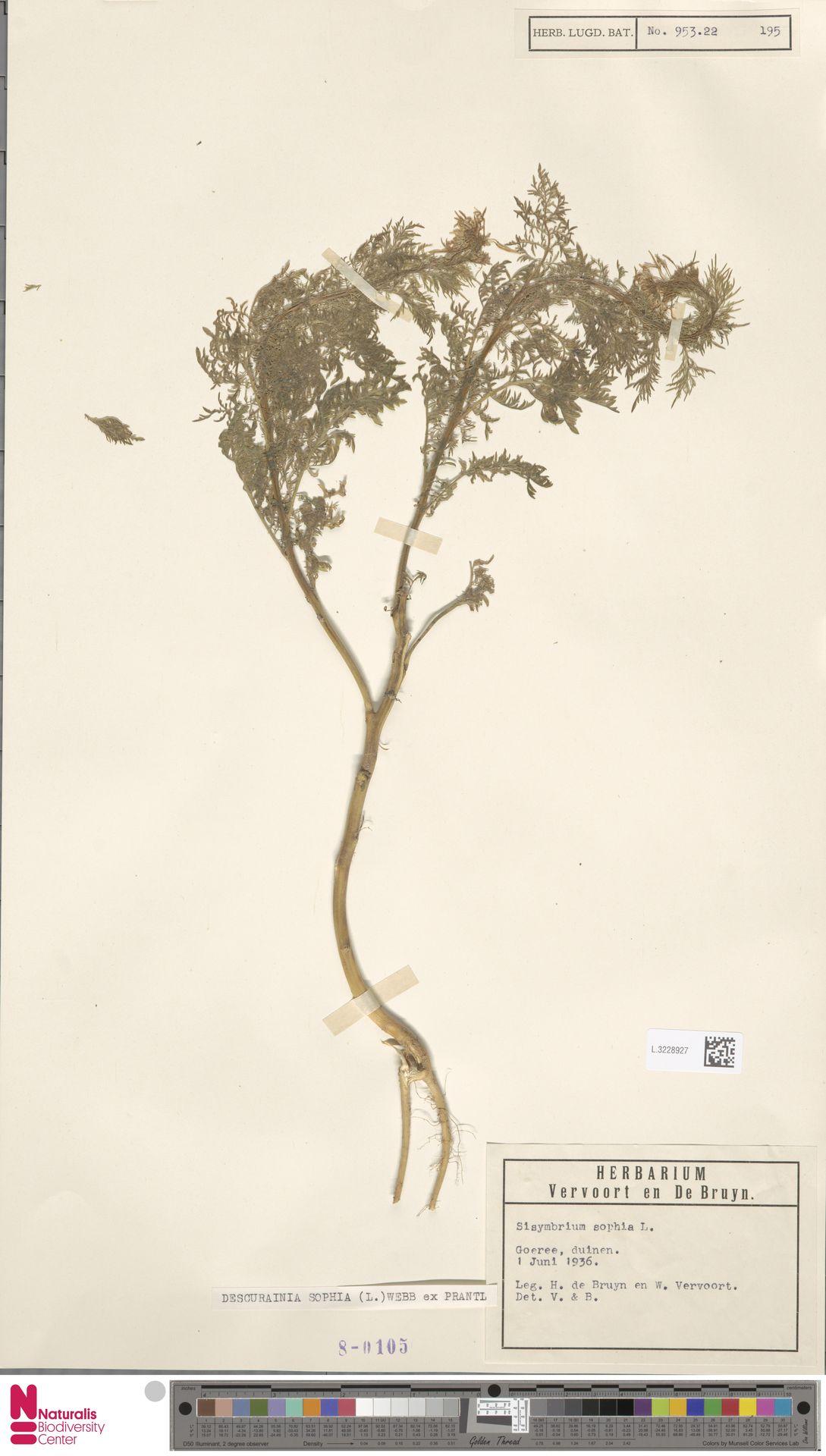 L.3228927 | Descurainia sophia (L.) Webb ex Prantl