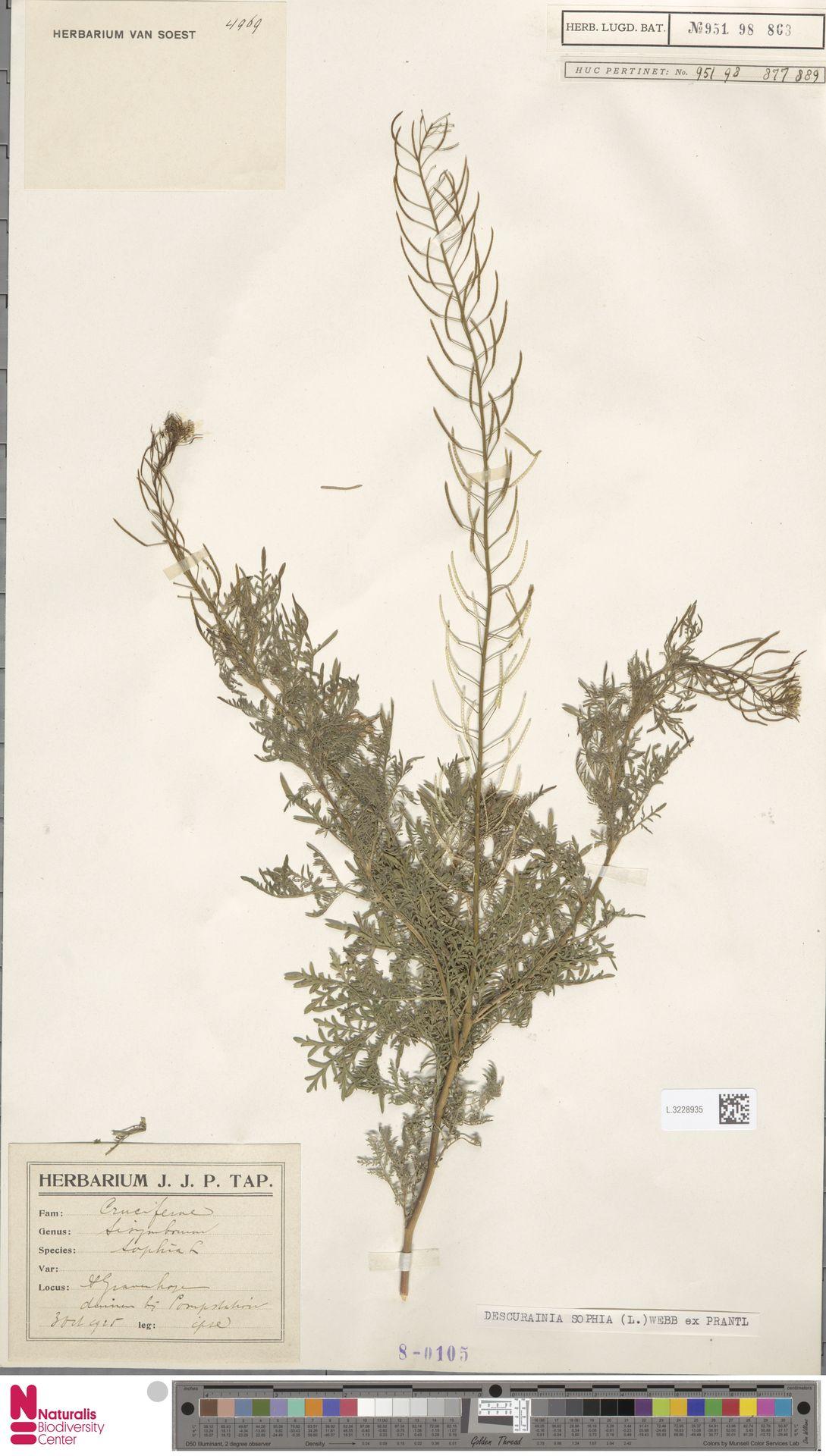 L.3228935 | Descurainia sophia (L.) Webb ex Prantl