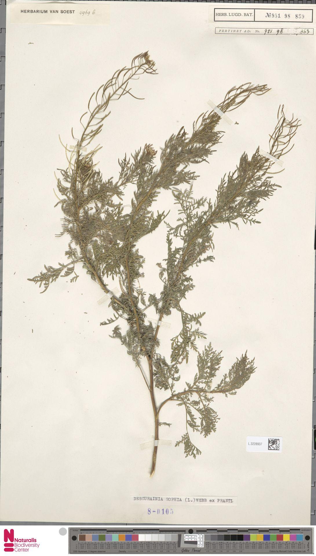 L.3228937   Descurainia sophia (L.) Webb ex Prantl