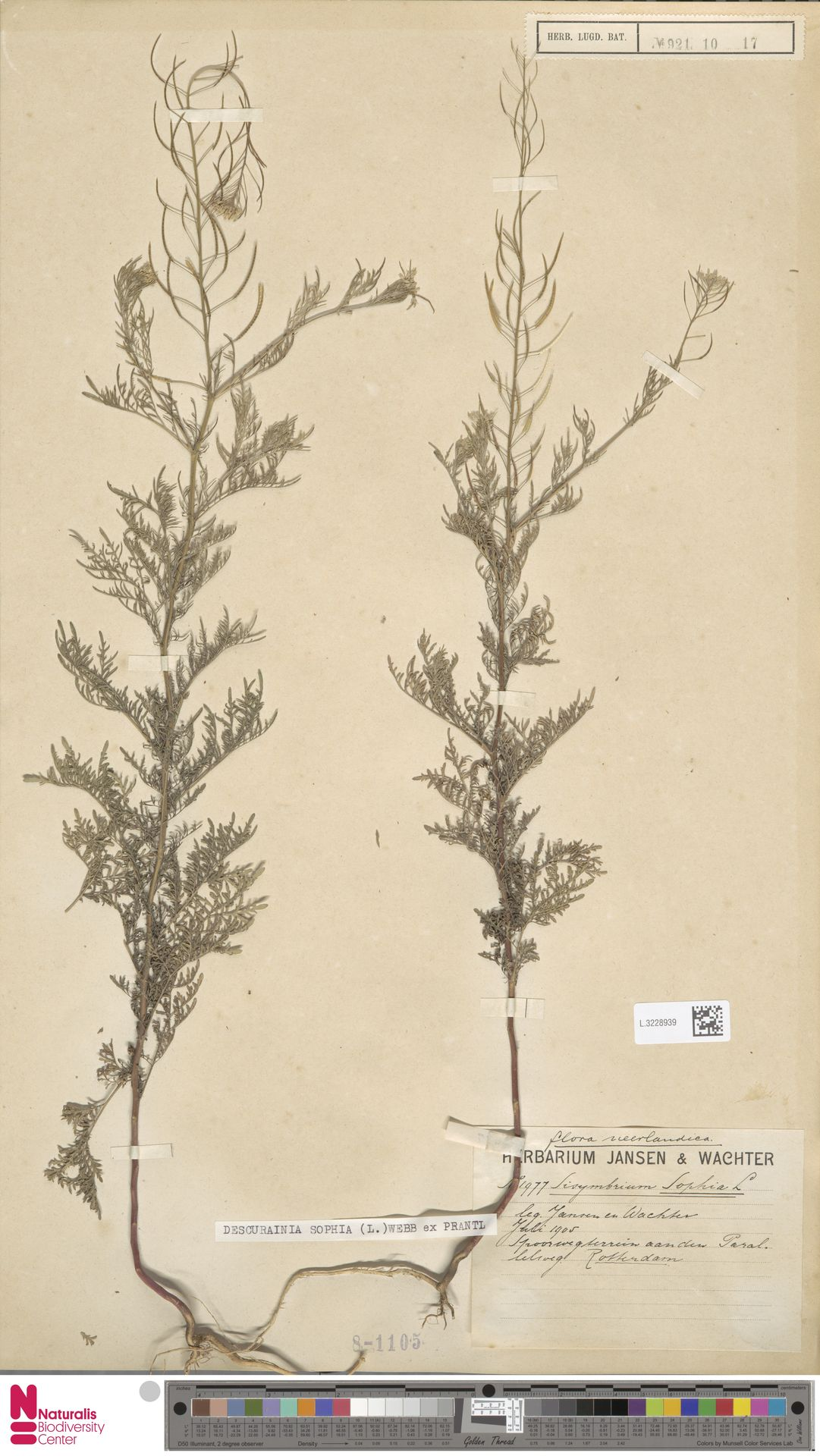 L.3228939   Descurainia sophia (L.) Webb ex Prantl