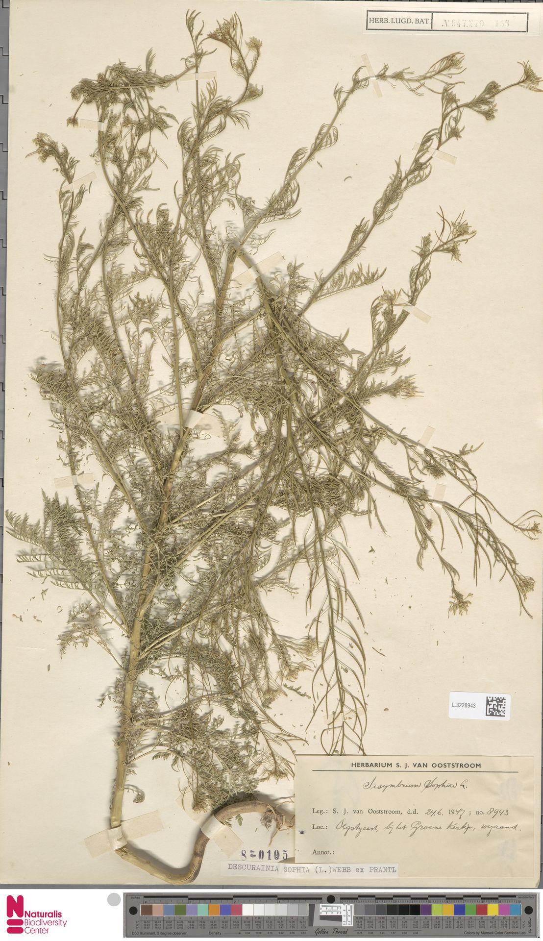 L.3228943 | Descurainia sophia (L.) Webb ex Prantl