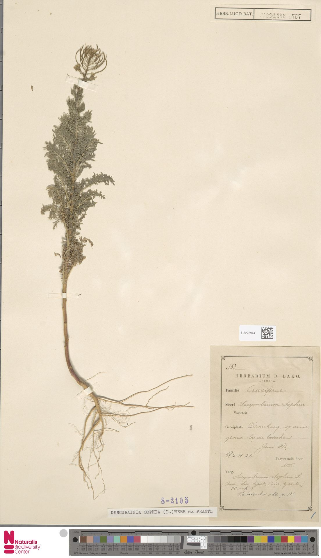 L.3228944 | Descurainia sophia (L.) Webb ex Prantl