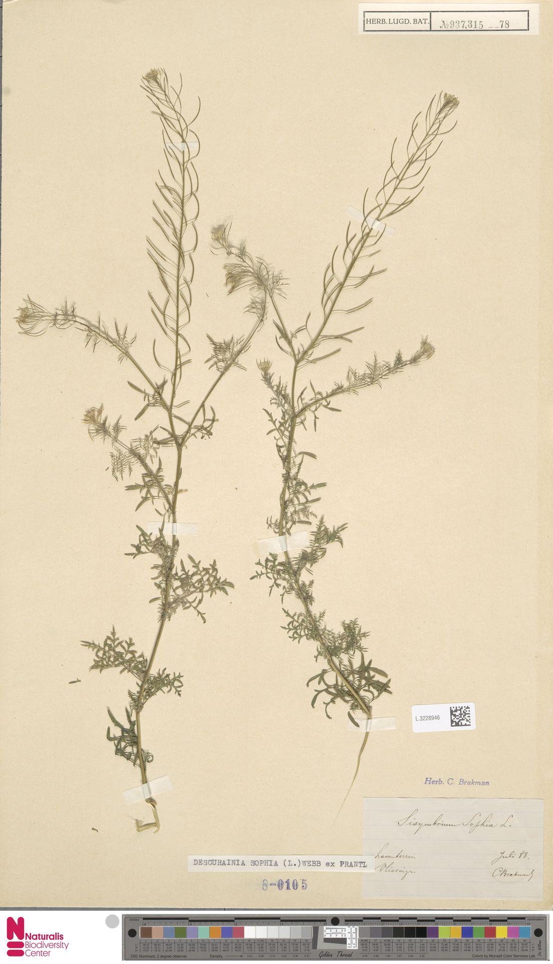 L.3228946 | Descurainia sophia (L.) Webb ex Prantl