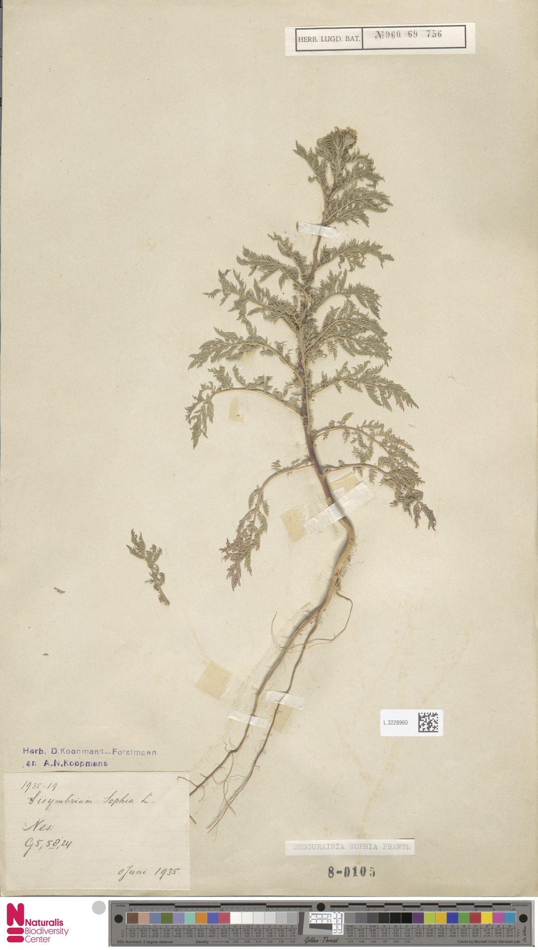 L.3228960   Descurainia sophia (L.) Webb ex Prantl