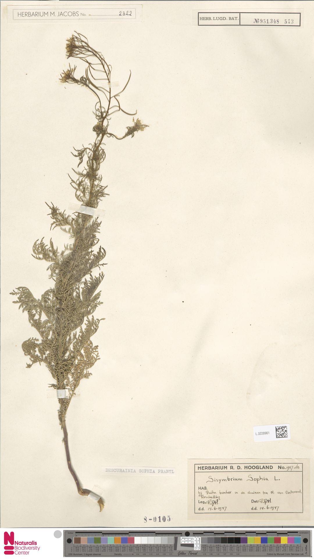 L.3228961 | Descurainia sophia (L.) Webb ex Prantl