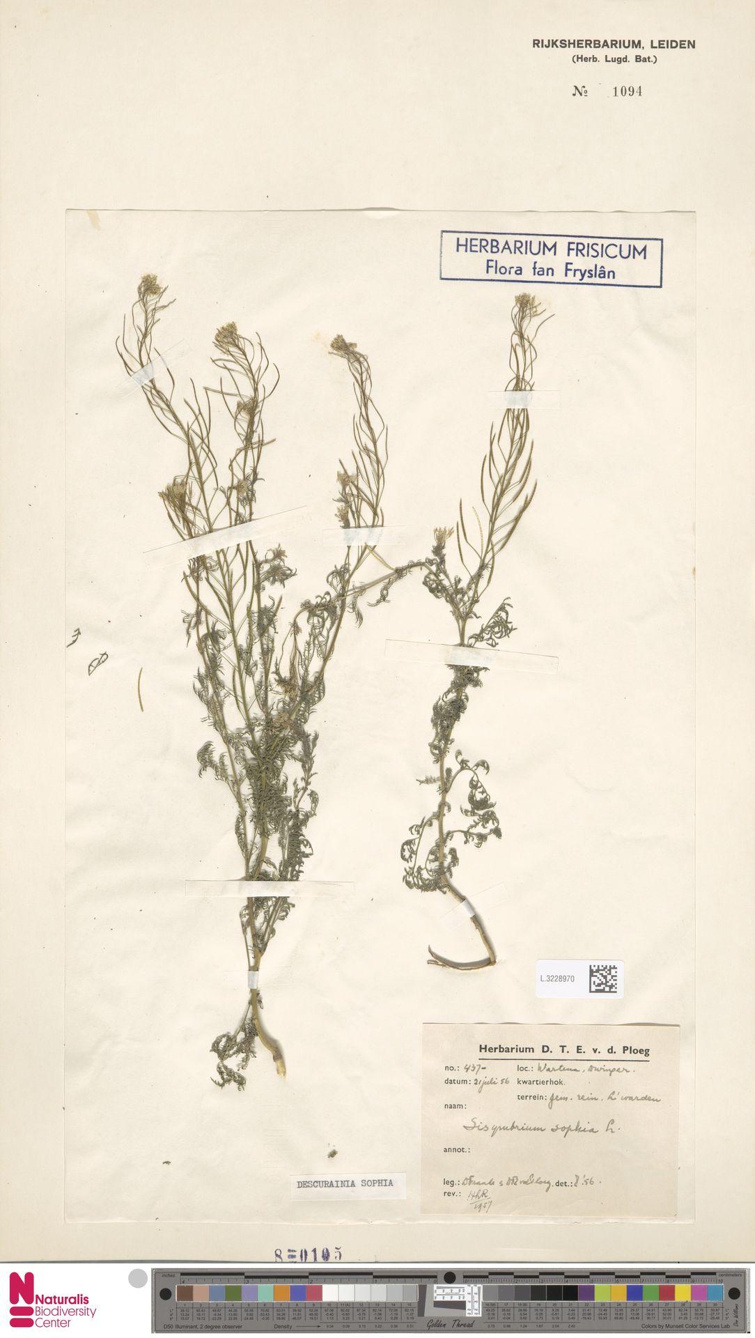 L.3228970 | Descurainia sophia (L.) Webb ex Prantl