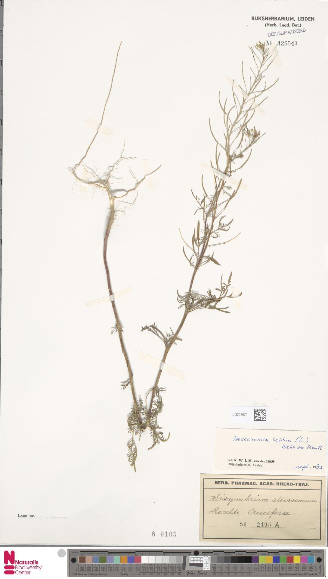 L.3228972 | Descurainia sophia (L.) Webb ex Prantl