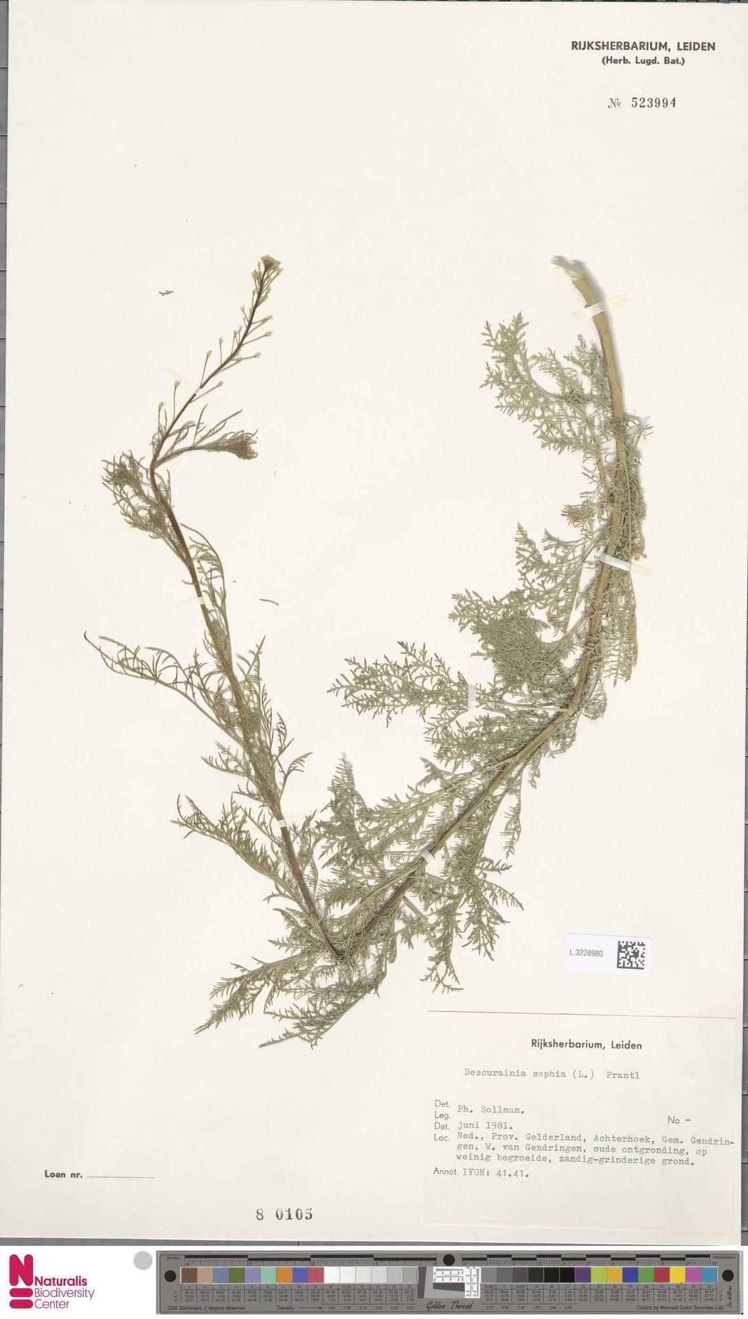 L.3228980 | Descurainia sophia (L.) Webb ex Prantl