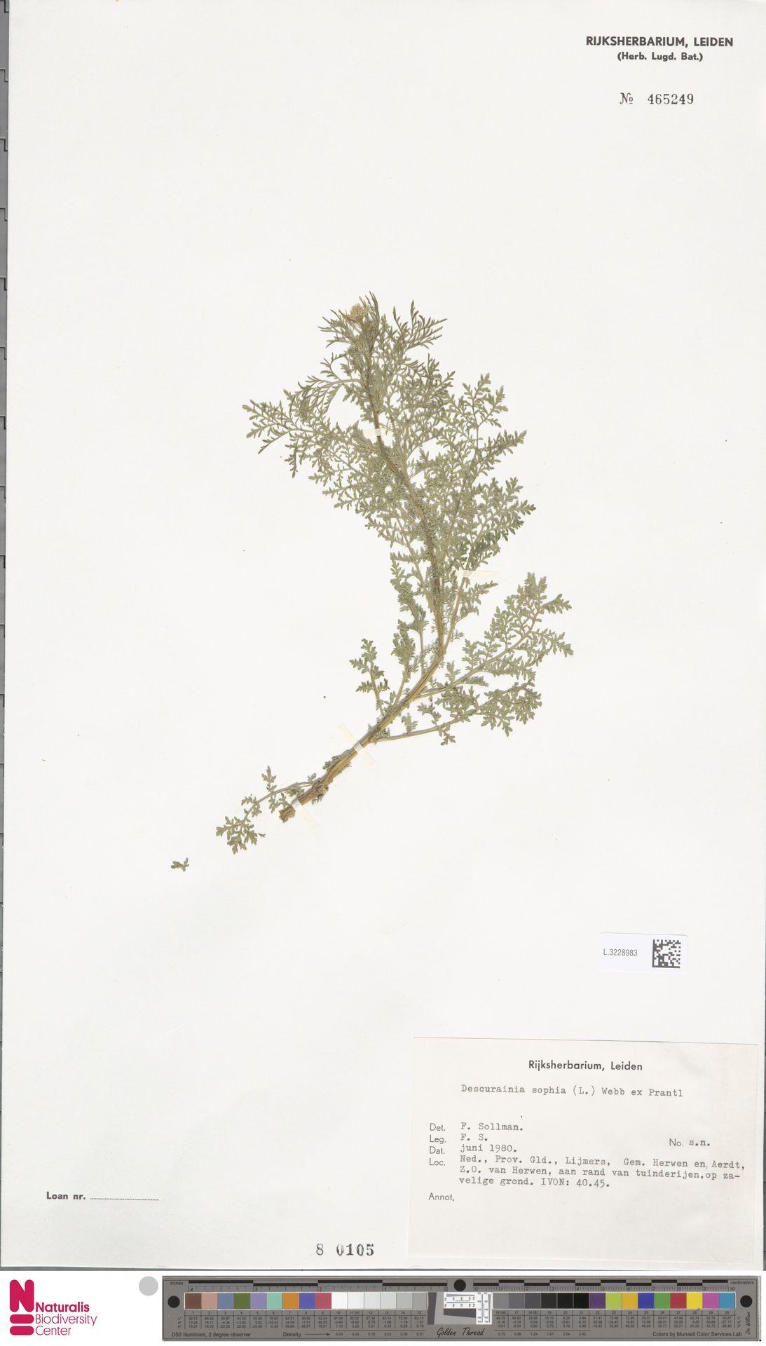 L.3228983 | Descurainia sophia (L.) Webb ex Prantl