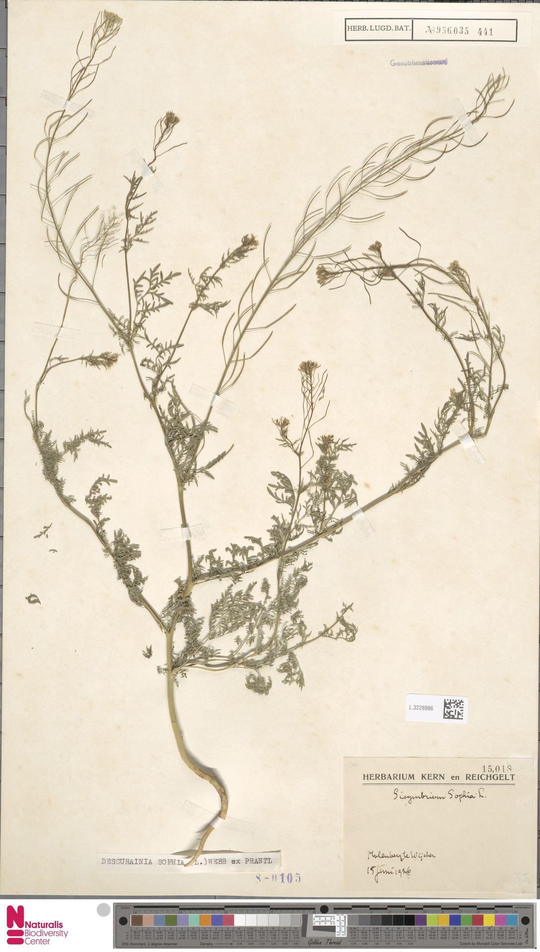 L.3228986 | Descurainia sophia (L.) Webb ex Prantl