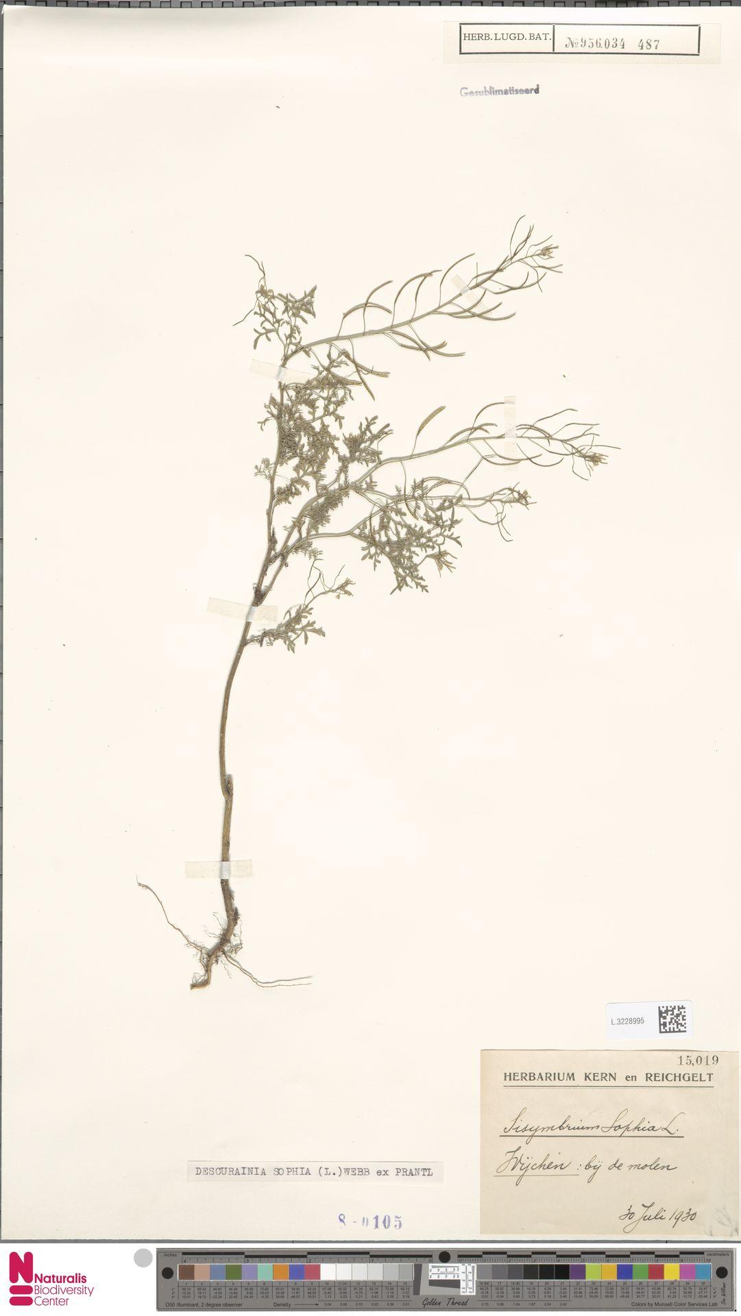 L.3228995 | Descurainia sophia (L.) Webb ex Prantl