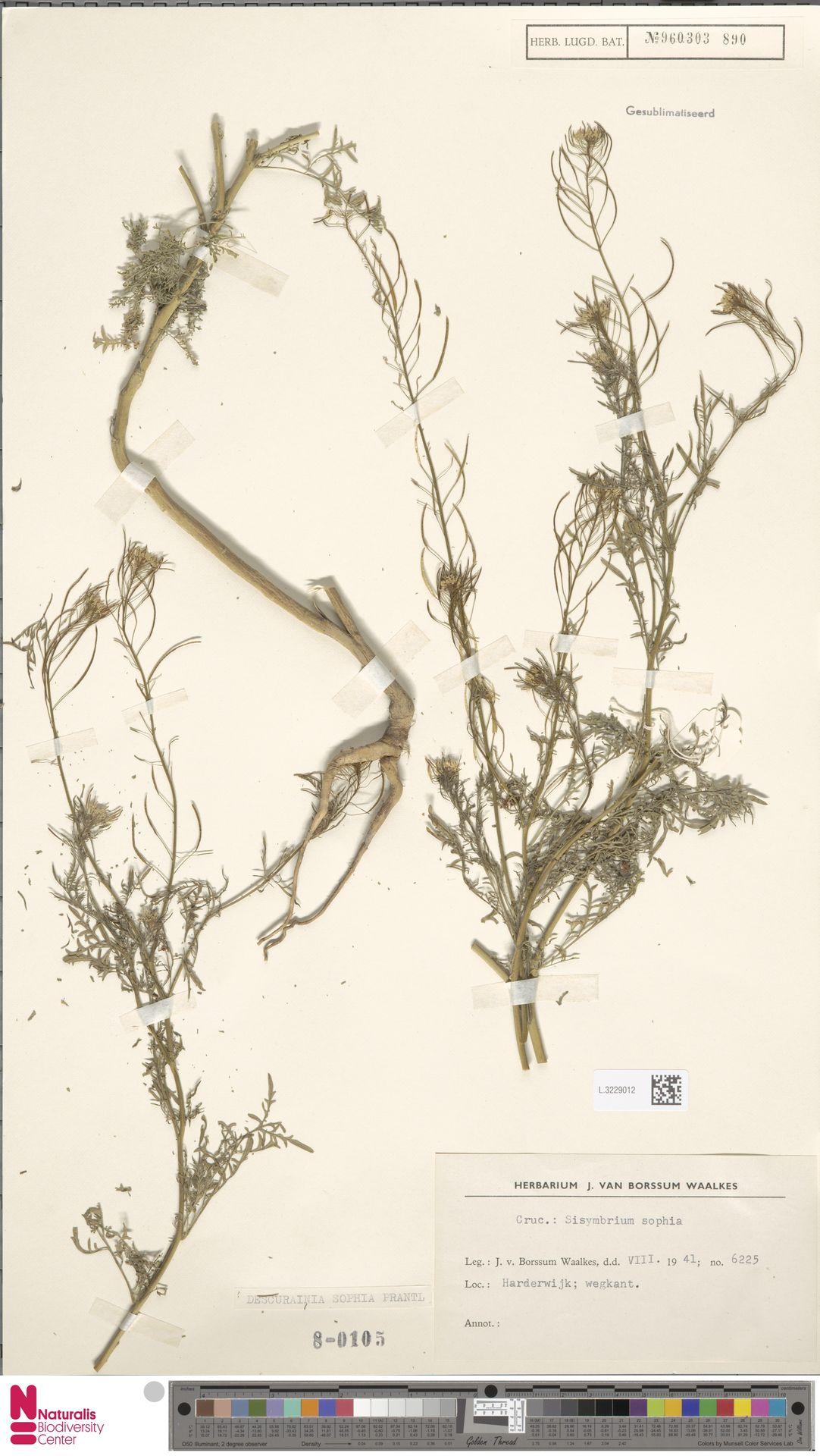L.3229012 | Descurainia sophia (L.) Webb ex Prantl