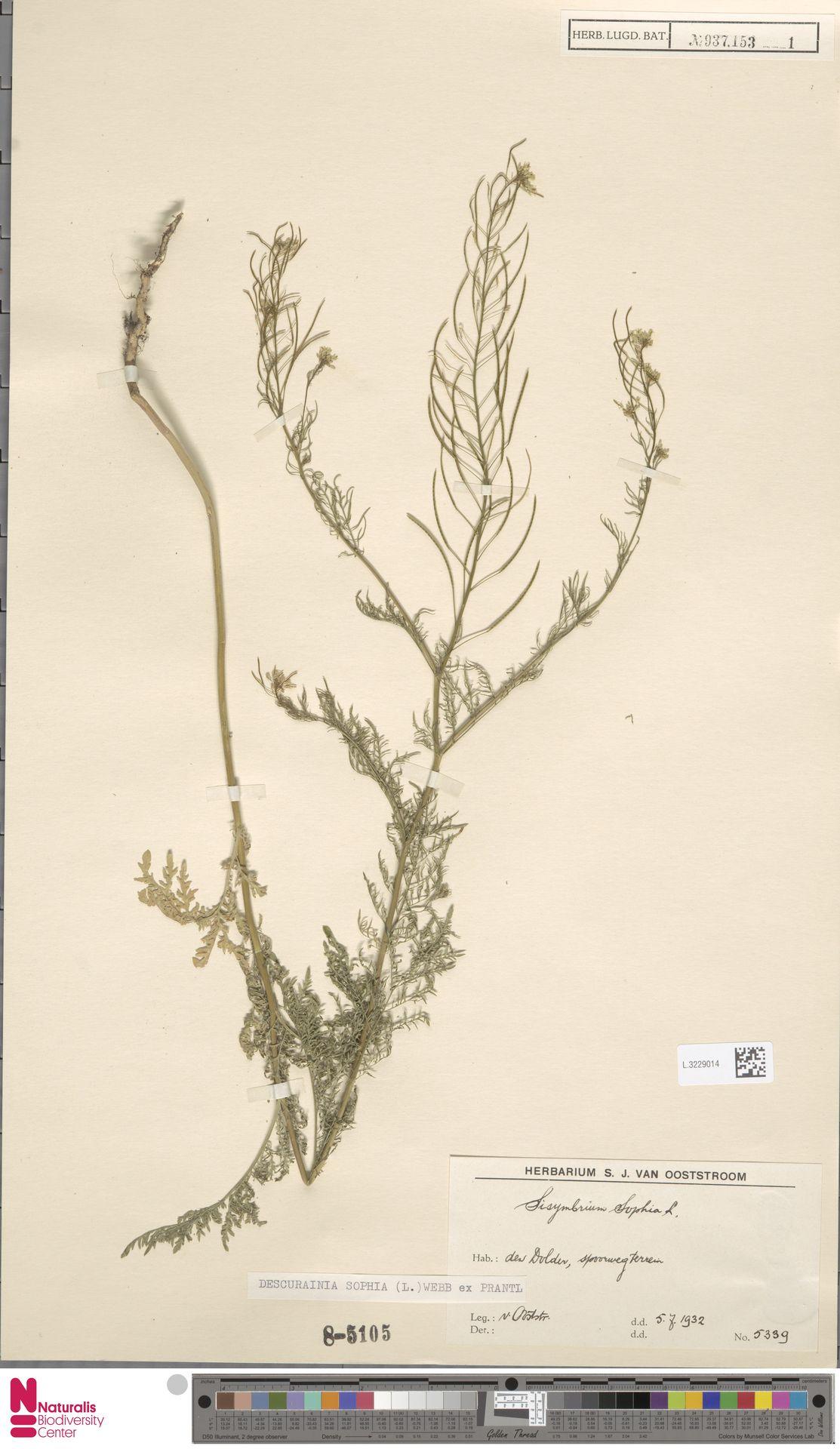 L.3229014 | Descurainia sophia (L.) Webb ex Prantl