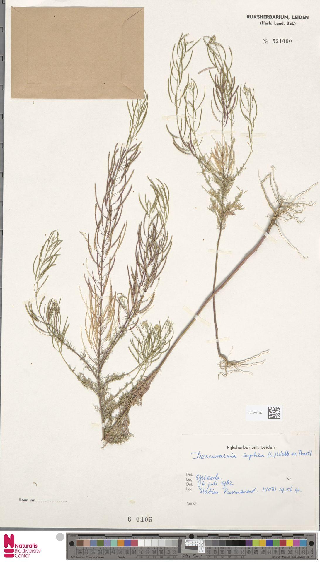 L.3229016 | Descurainia sophia (L.) Webb ex Prantl