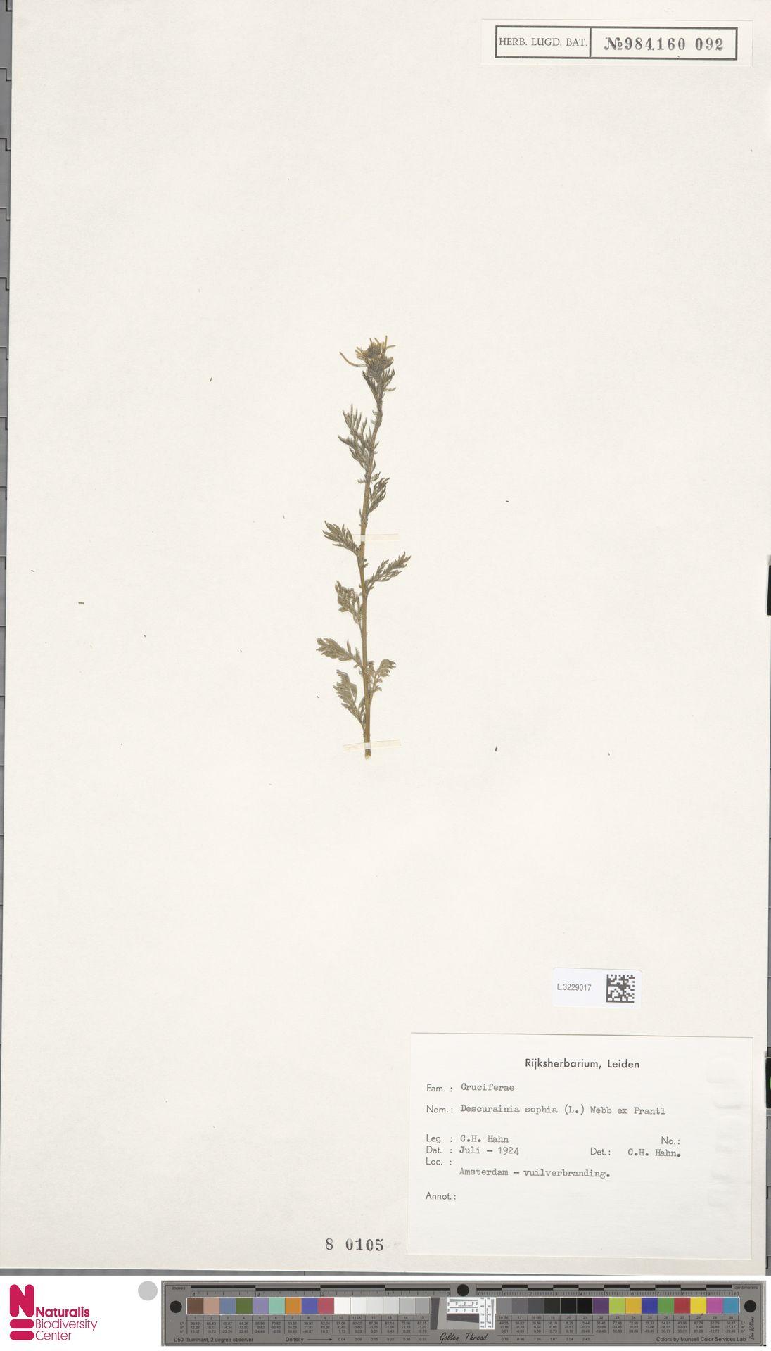 L.3229017 | Descurainia sophia (L.) Webb ex Prantl