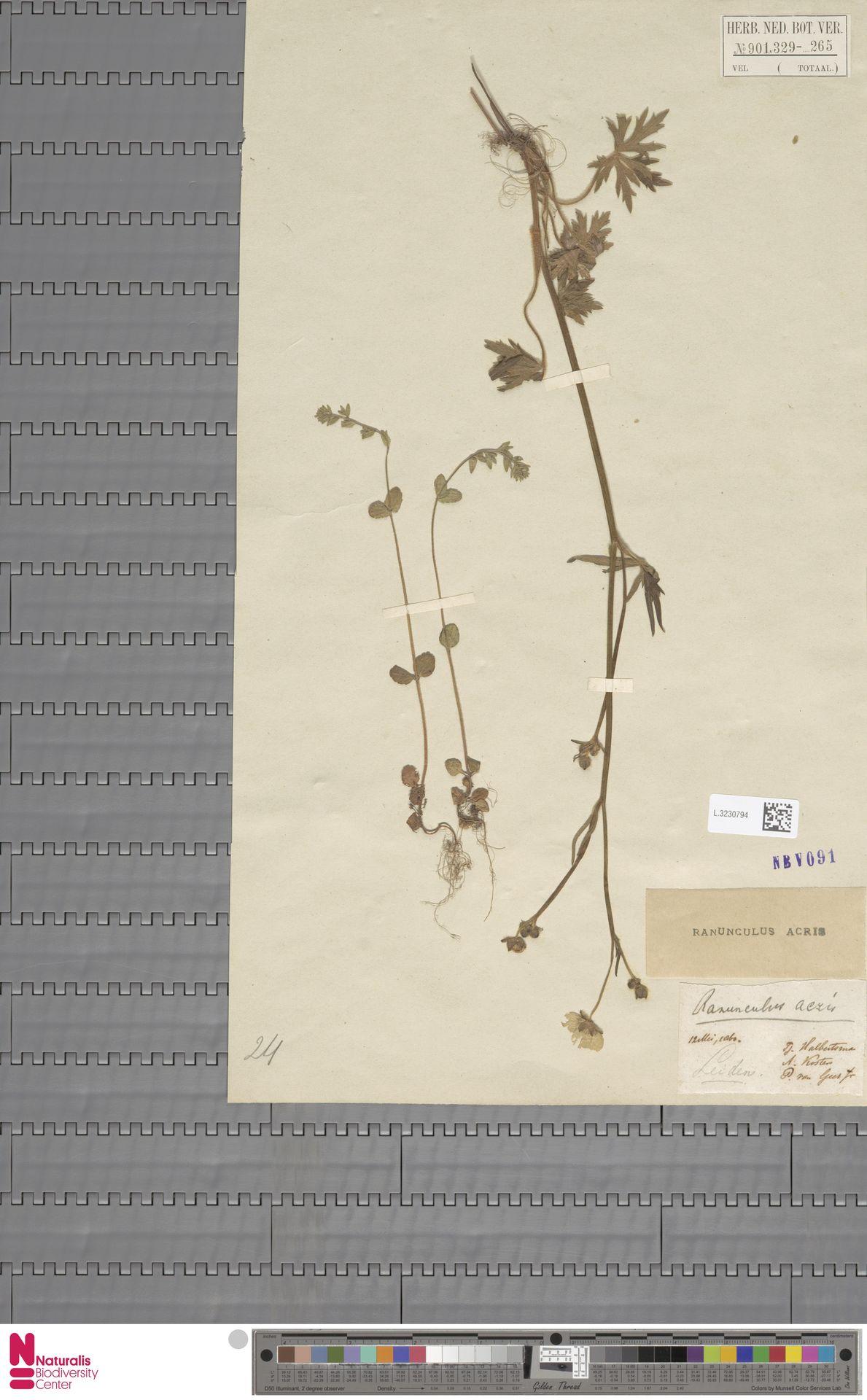 L.3230794 | Ranunculus acris L.