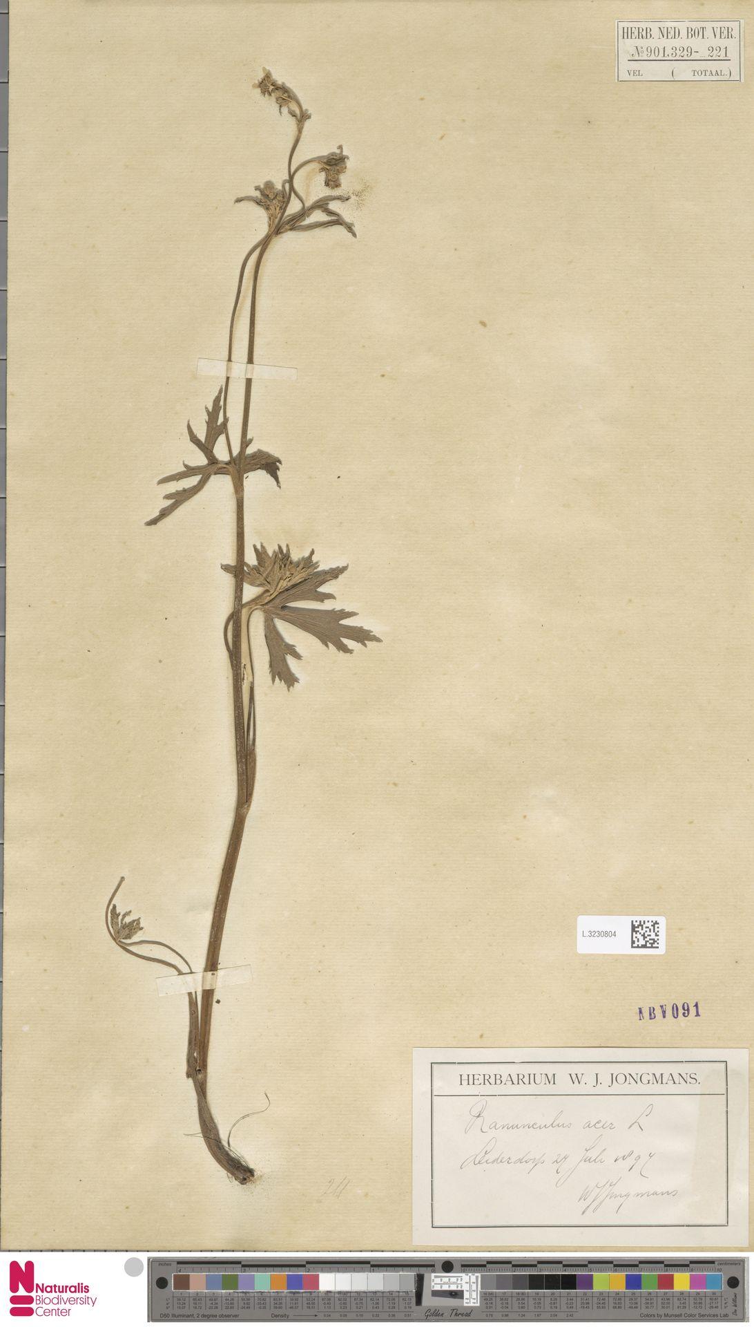 L.3230804 | Ranunculus acris L.