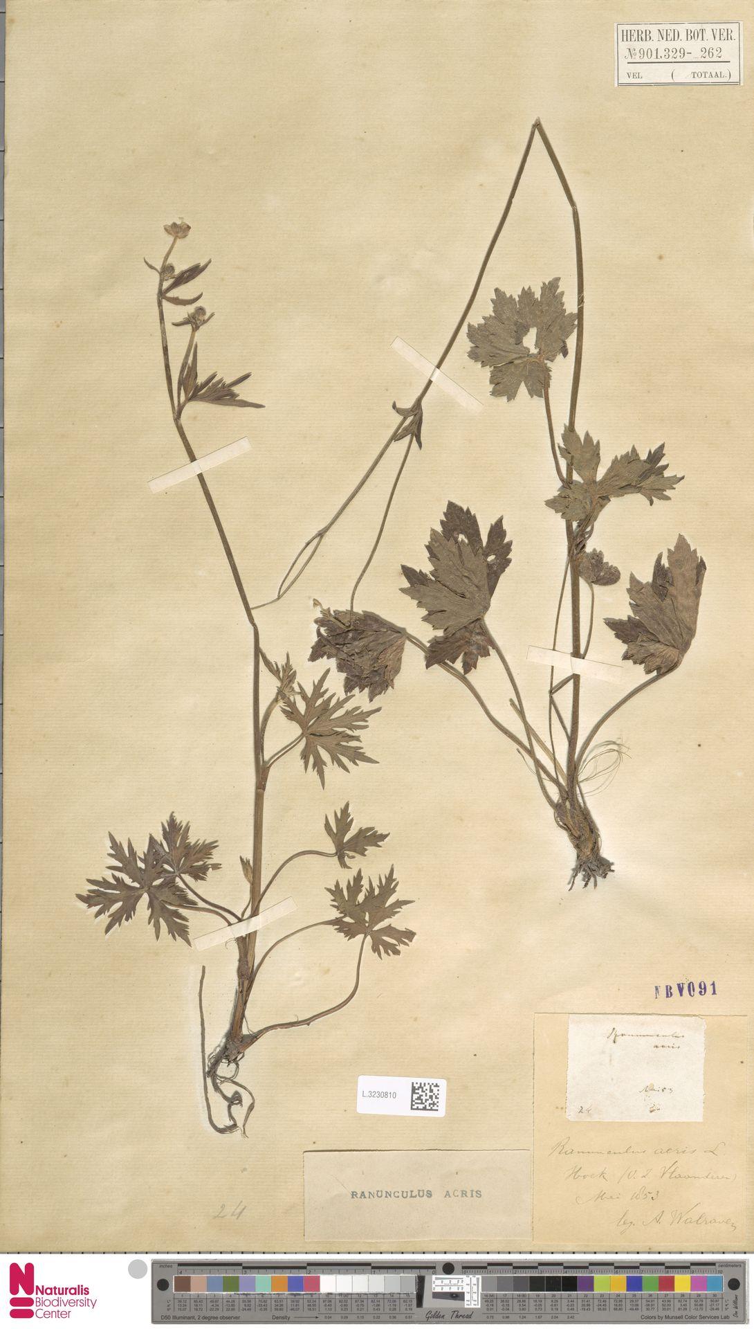 L.3230810   Ranunculus acris L.