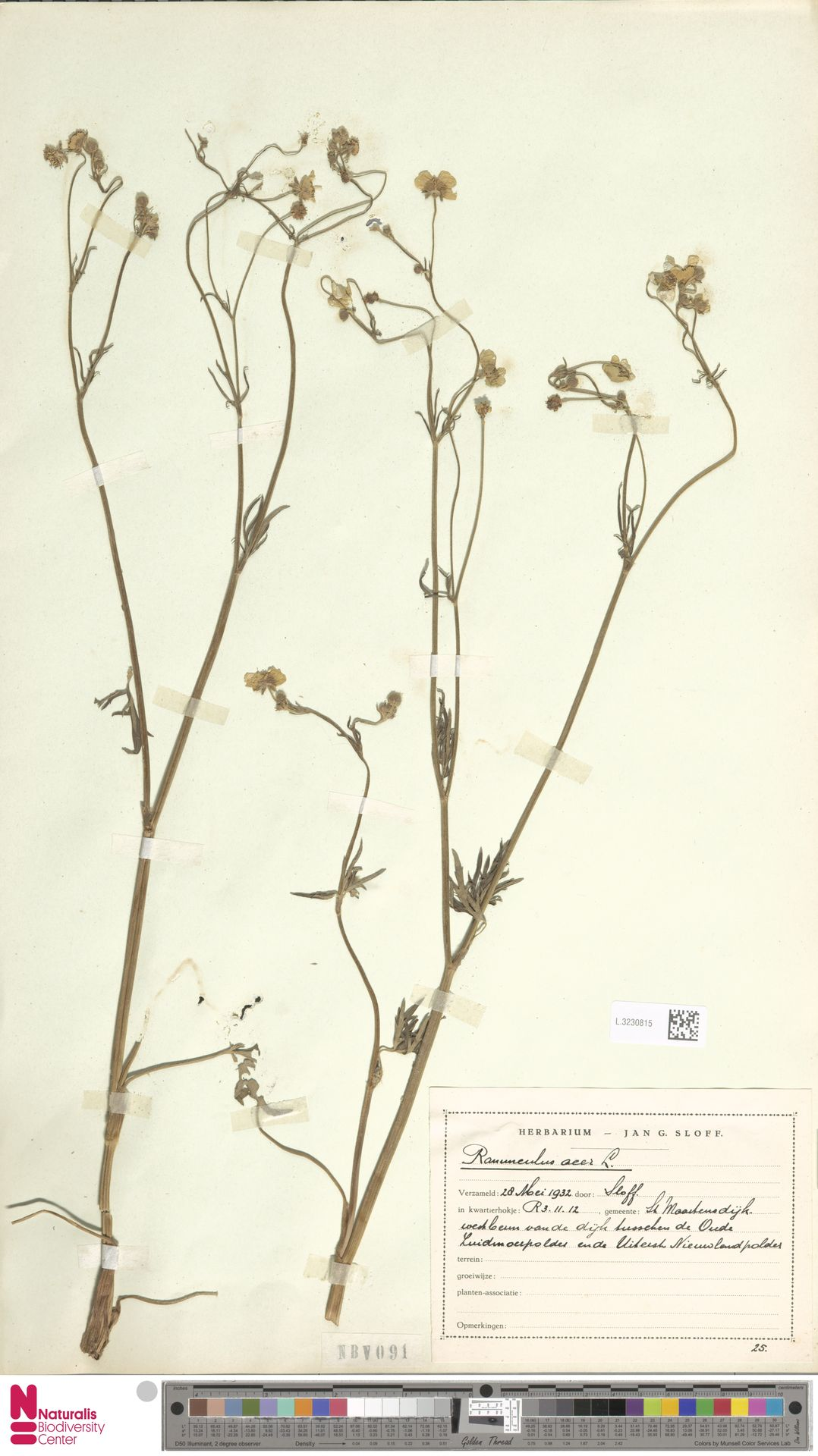 L.3230815 | Ranunculus acris L.