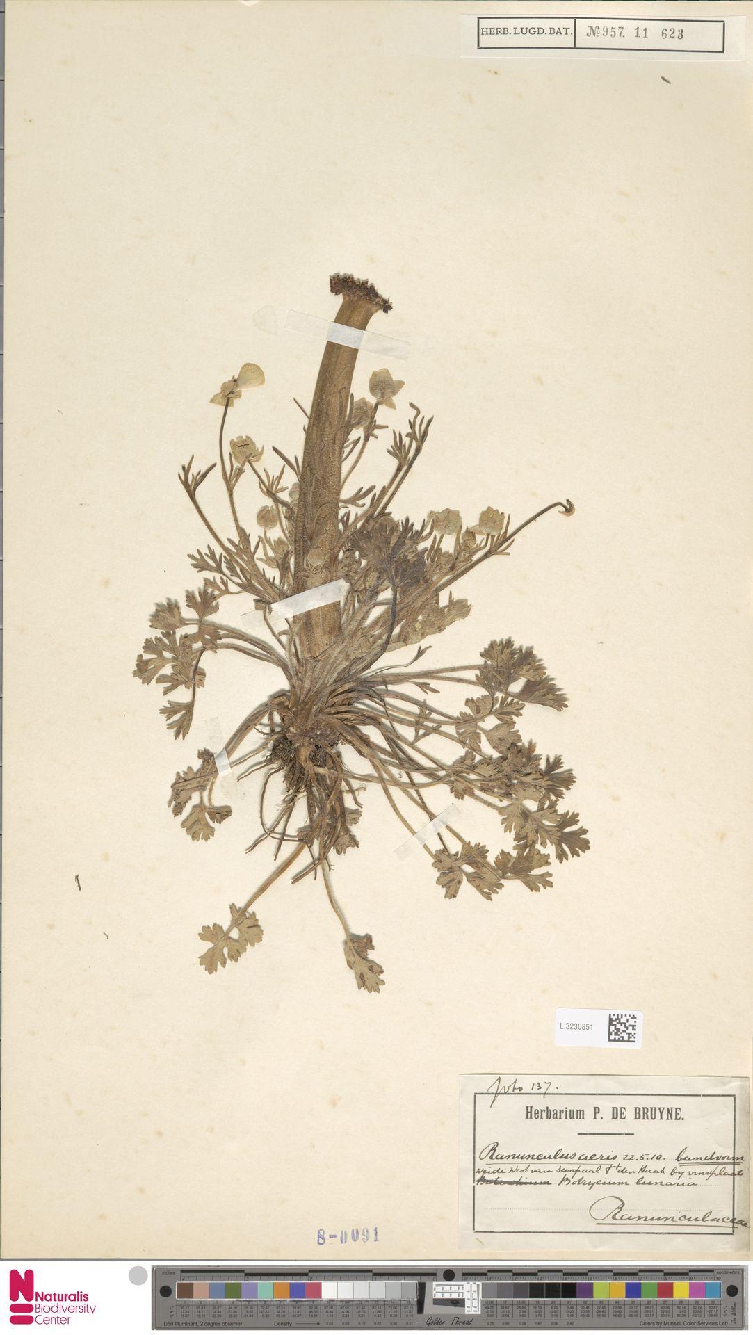 L.3230851   Ranunculus acris L.