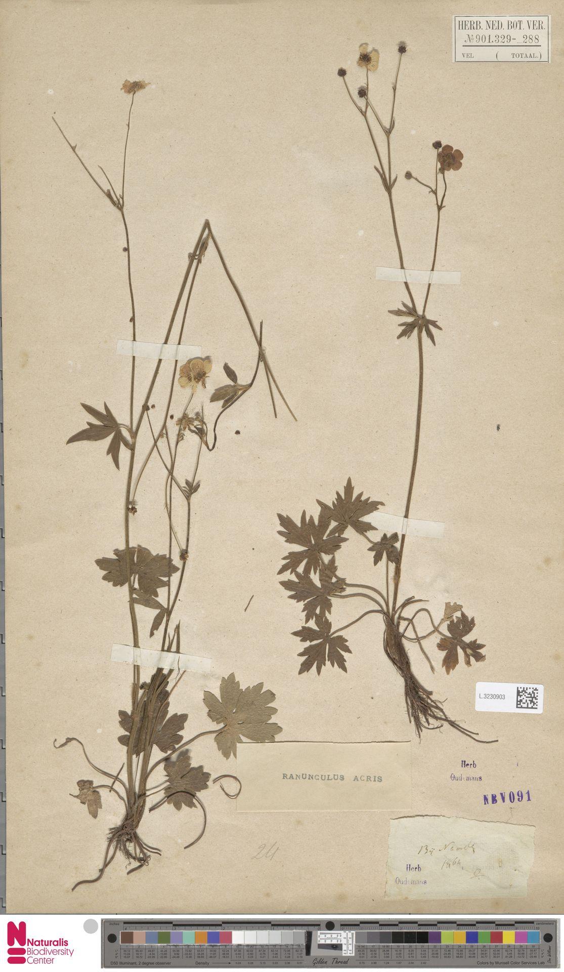 L.3230903 | Ranunculus acris L.