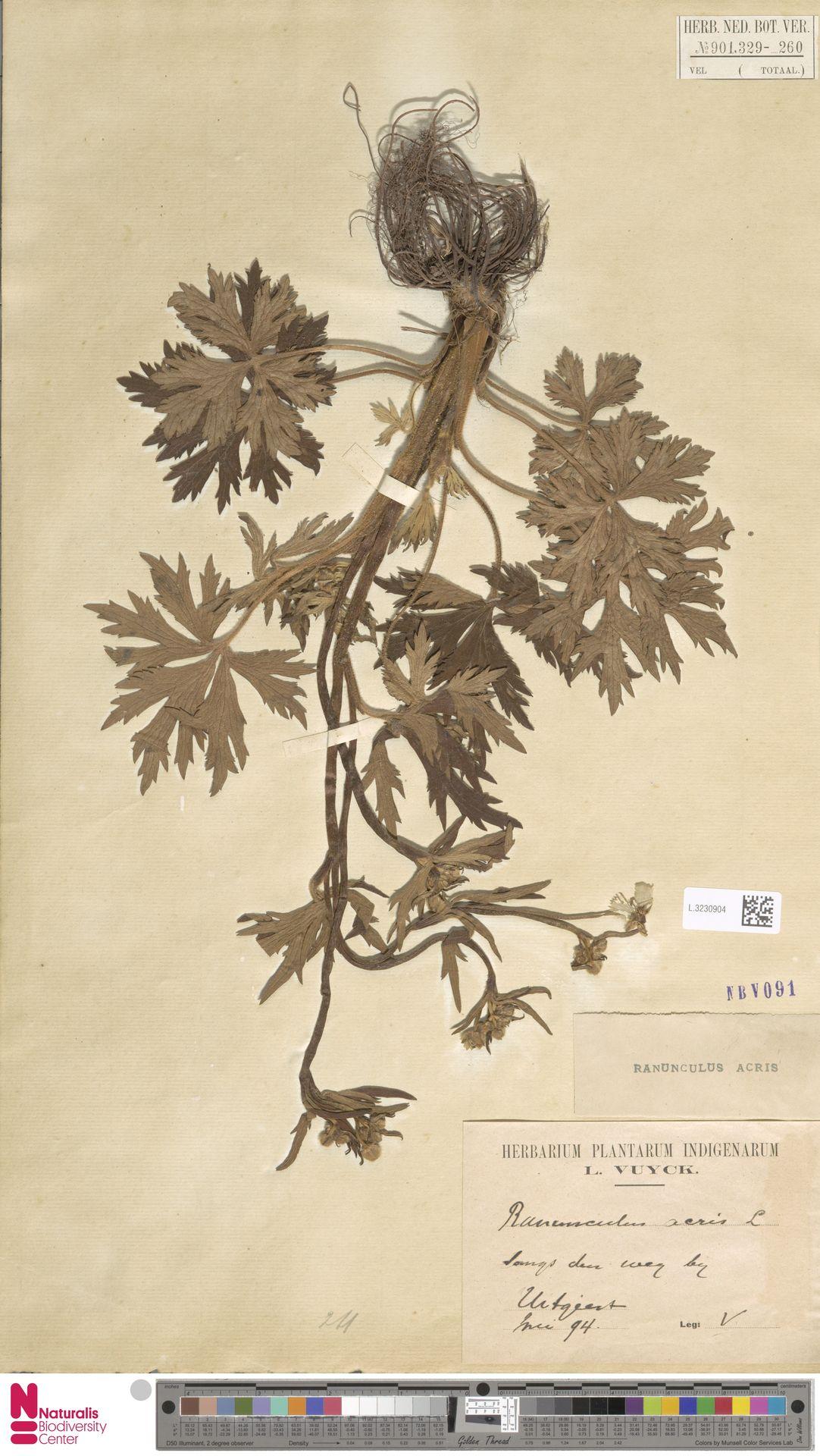 L.3230904 | Ranunculus acris L.