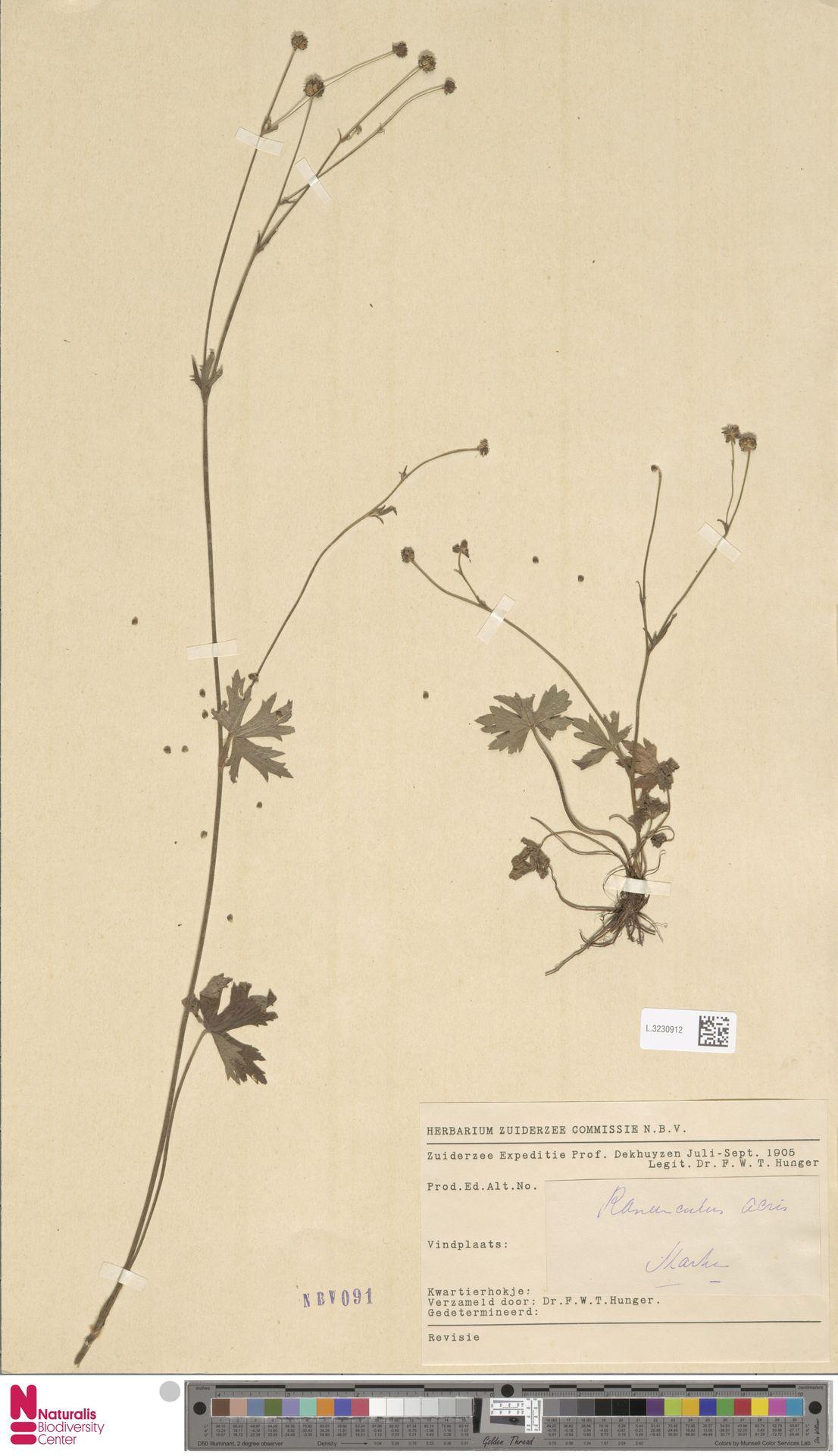 L.3230912   Ranunculus acris L.