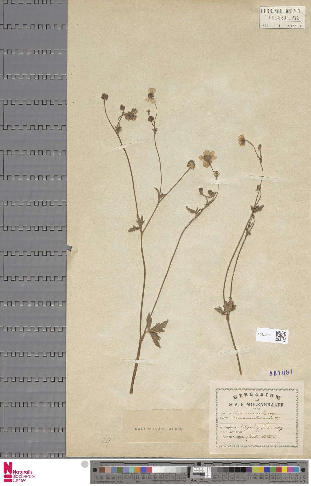 L.3230913 | Ranunculus acris L.