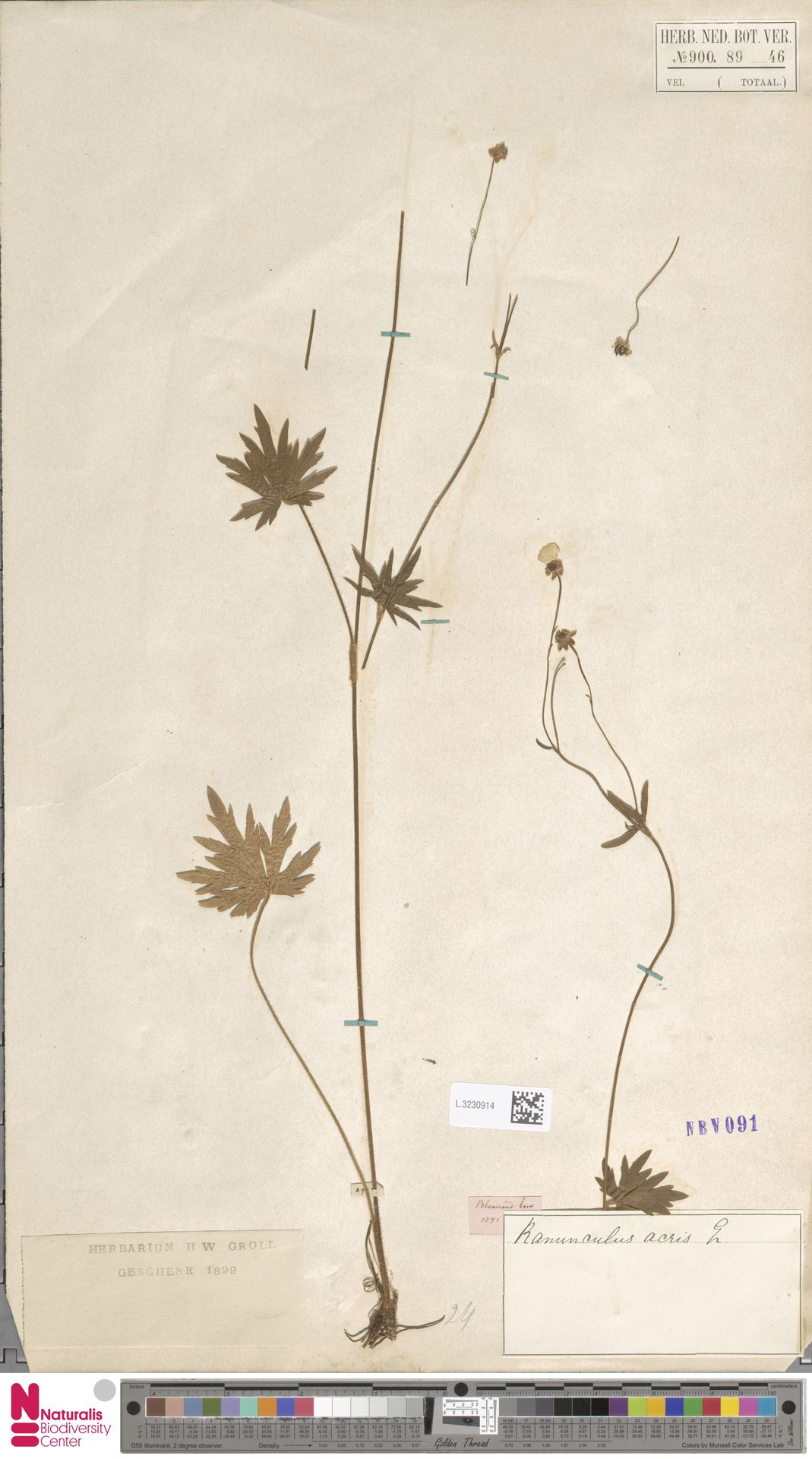 L.3230914 | Ranunculus acris L.