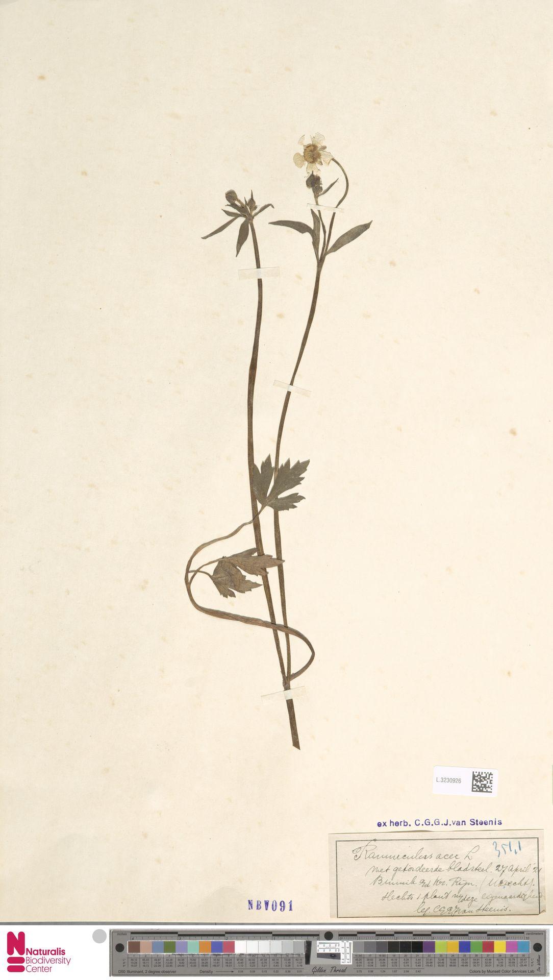 L.3230926   Ranunculus acris L.