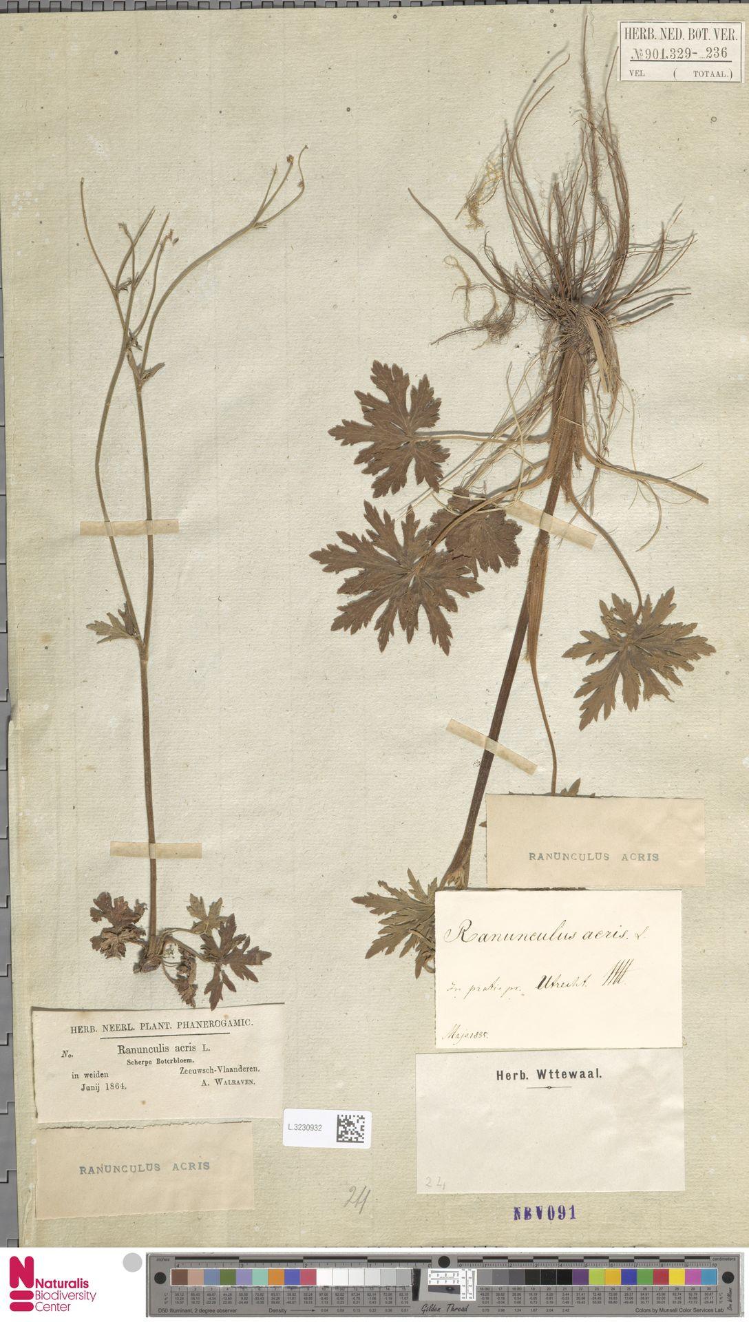 L.3230932 | Ranunculus acris L.