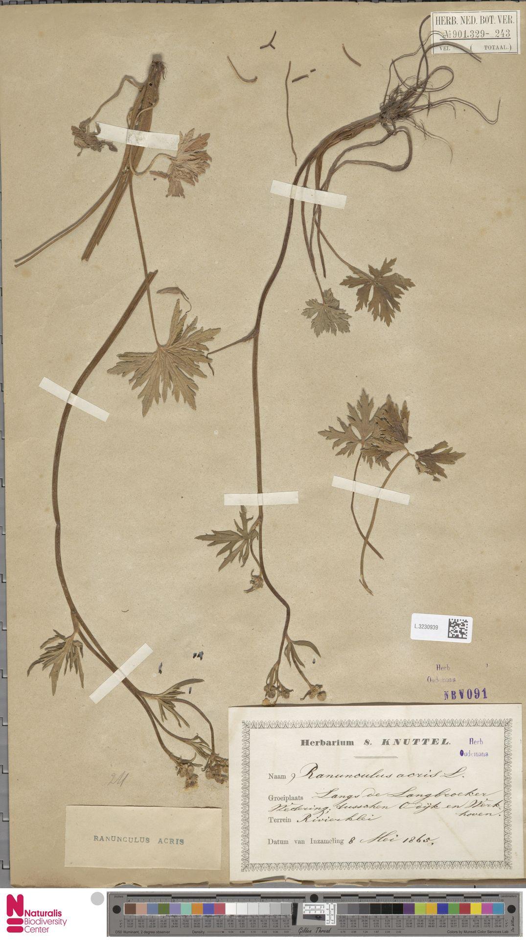 L.3230939 | Ranunculus acris L.