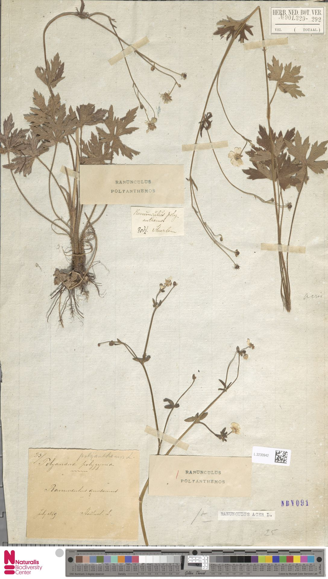 L.3230942 | Ranunculus acris L.