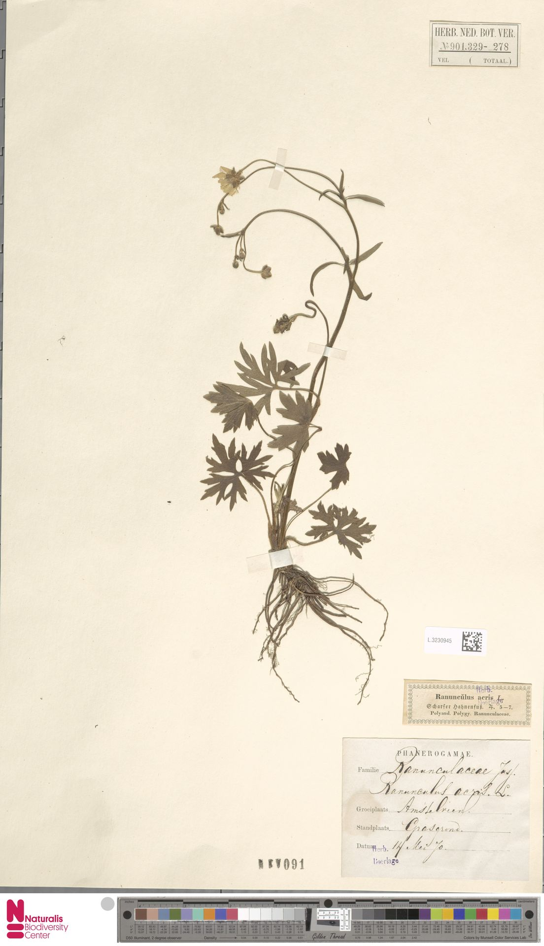 L.3230945 | Ranunculus acris L.