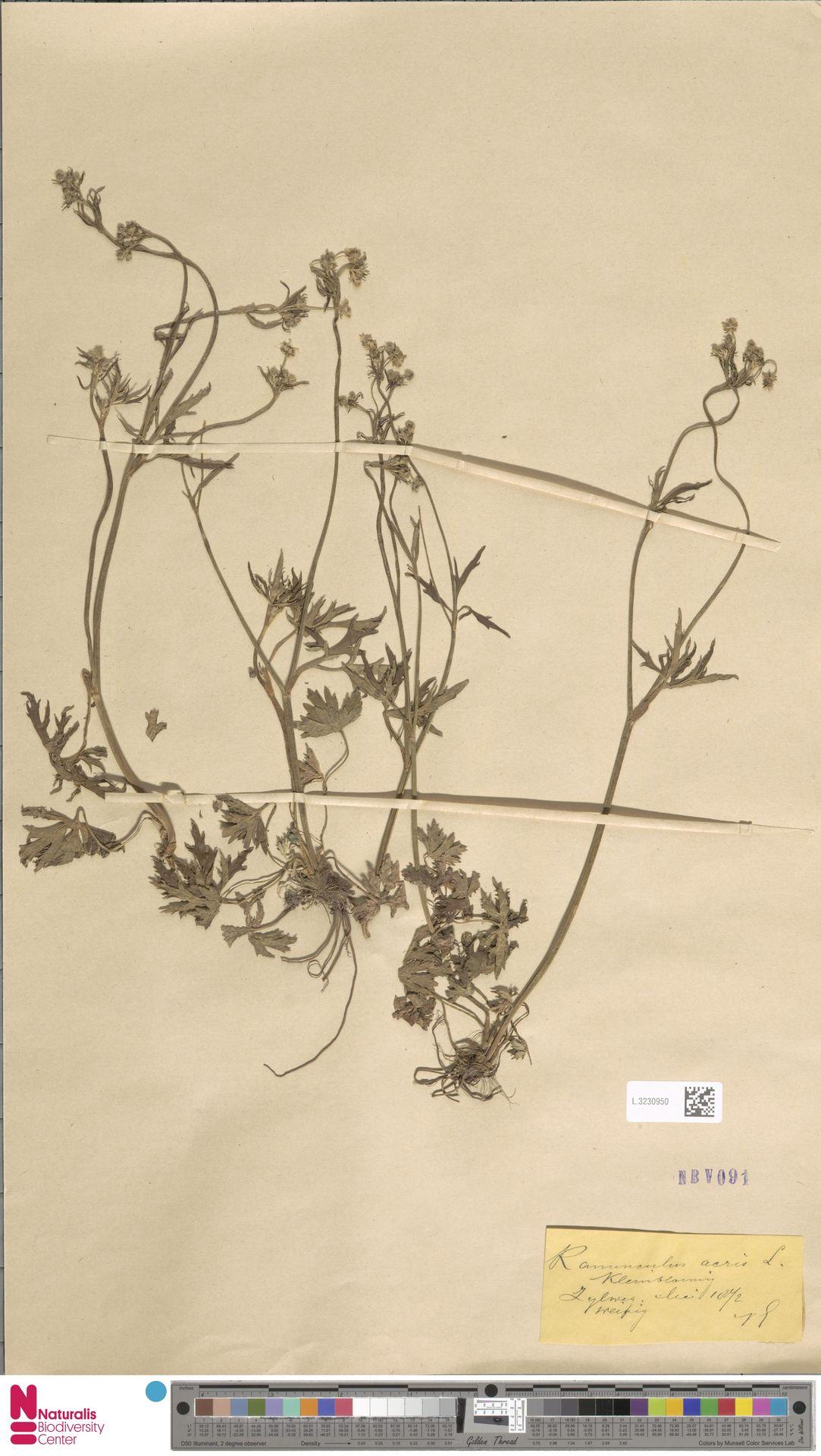 L.3230950 | Ranunculus acris L.