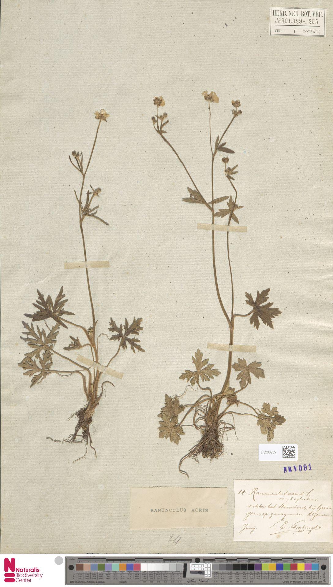 L.3230955   Ranunculus acris L.