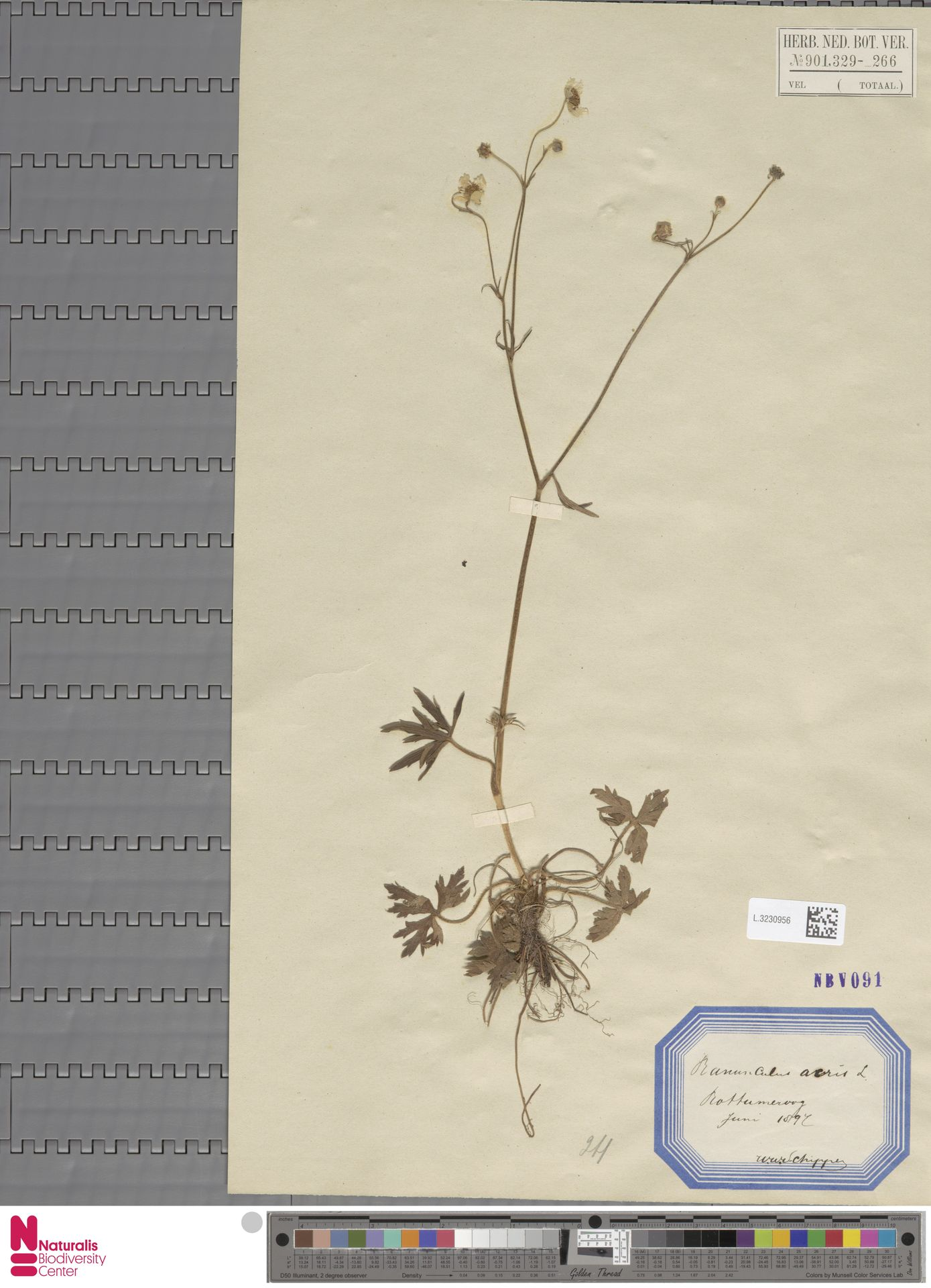 L.3230956   Ranunculus acris L.